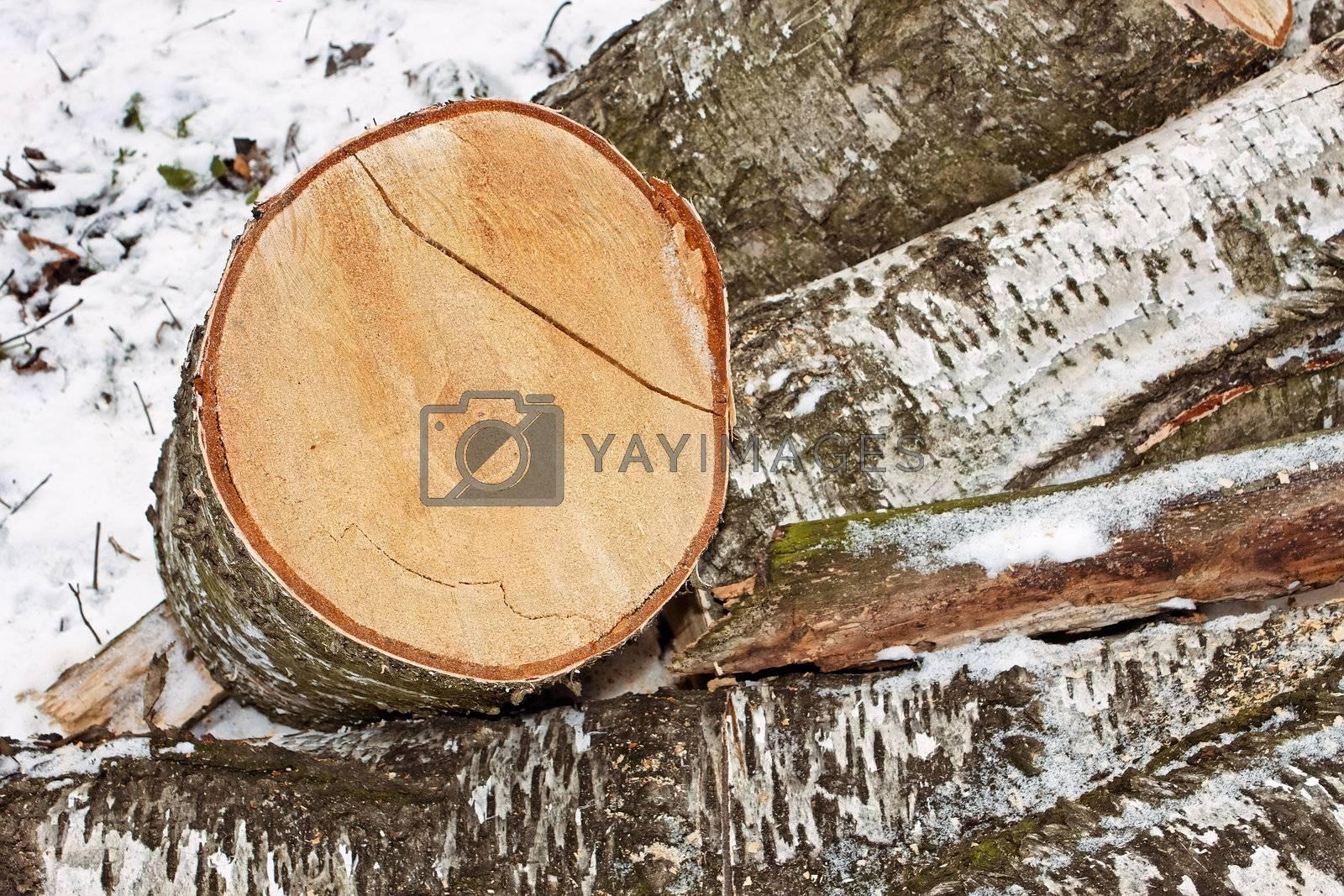 Birch logs in winter by qiiip