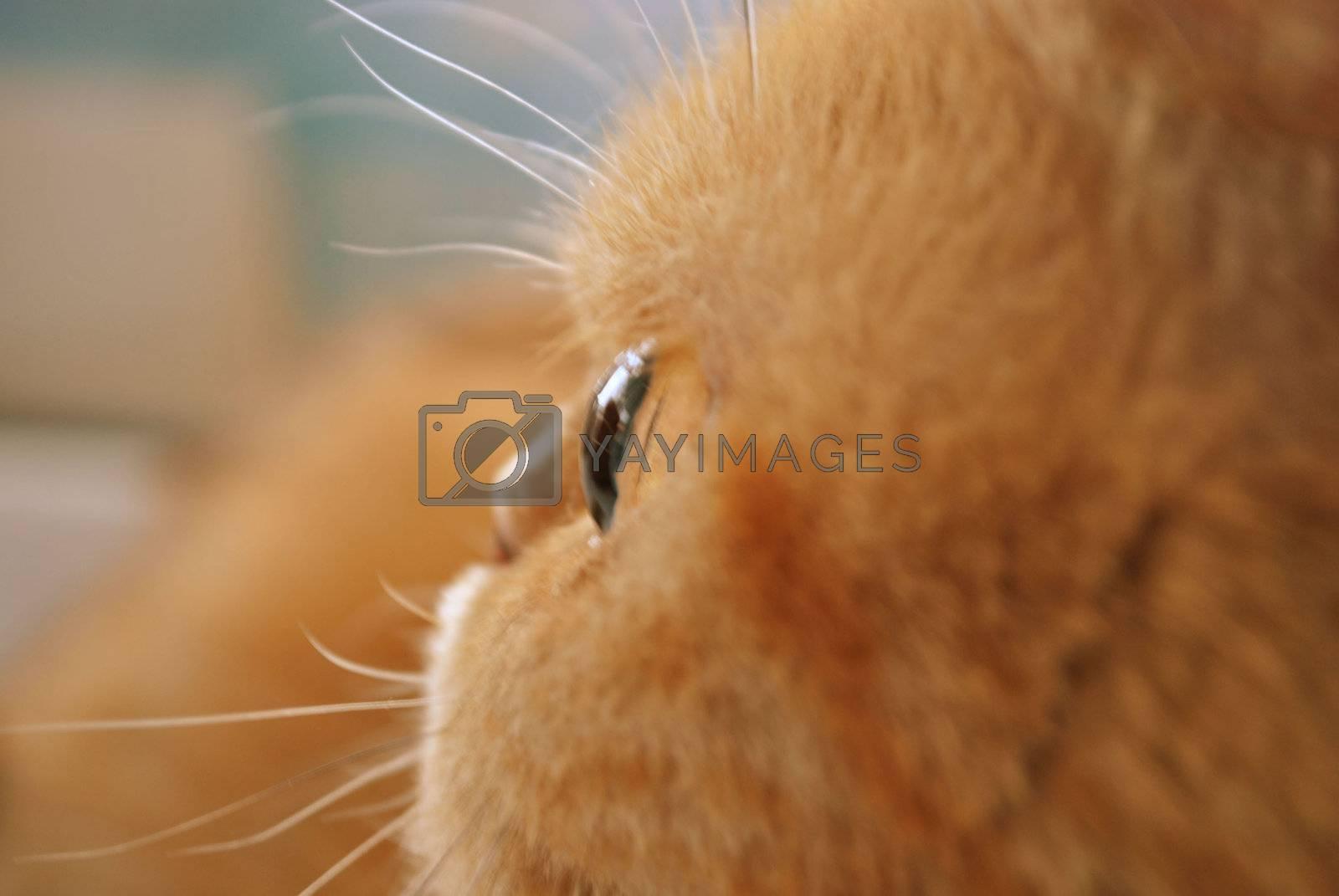 Redhead cat close-up