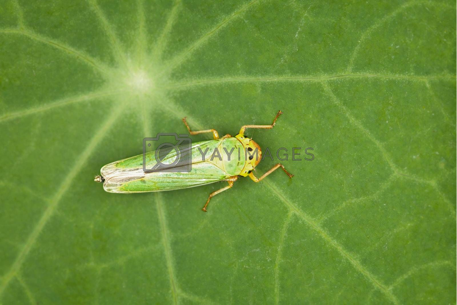 Leafhopper - small green insect on a plant leaf