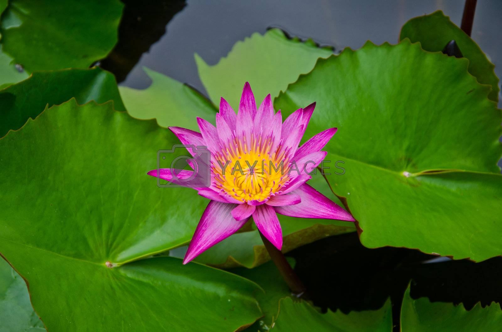 Pink Lotus with lotus leaf.       Pink Lotus with