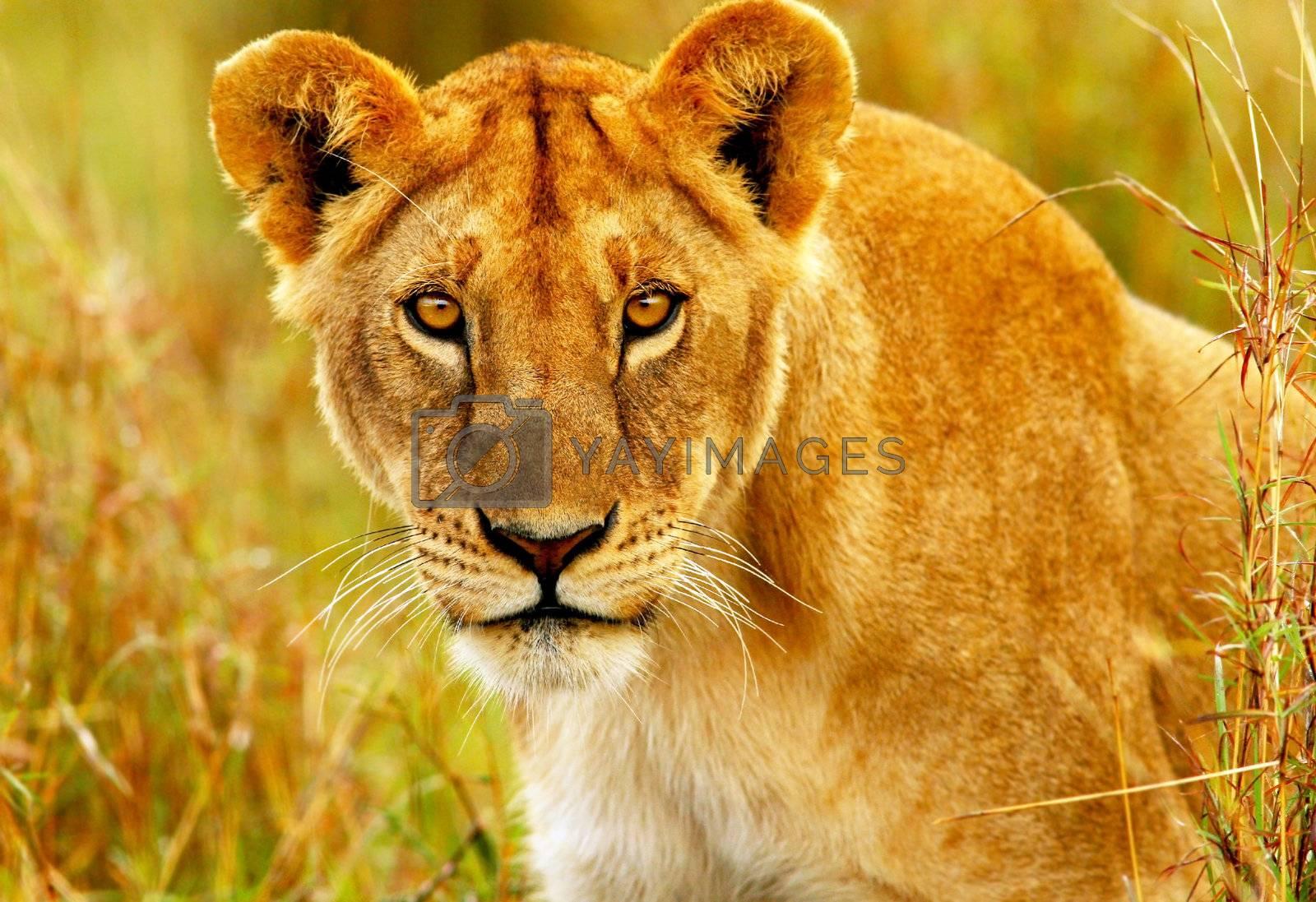 Beautiful wild african lioness portrait, Savanna, game drive, wildlife safari, animals in natural habitat, beauty of nature, Kenya travel, Masai Mara