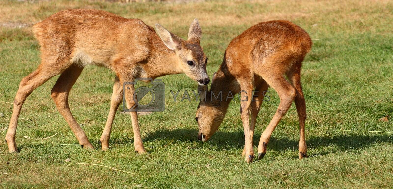 two roe deer babies playing in the green field
