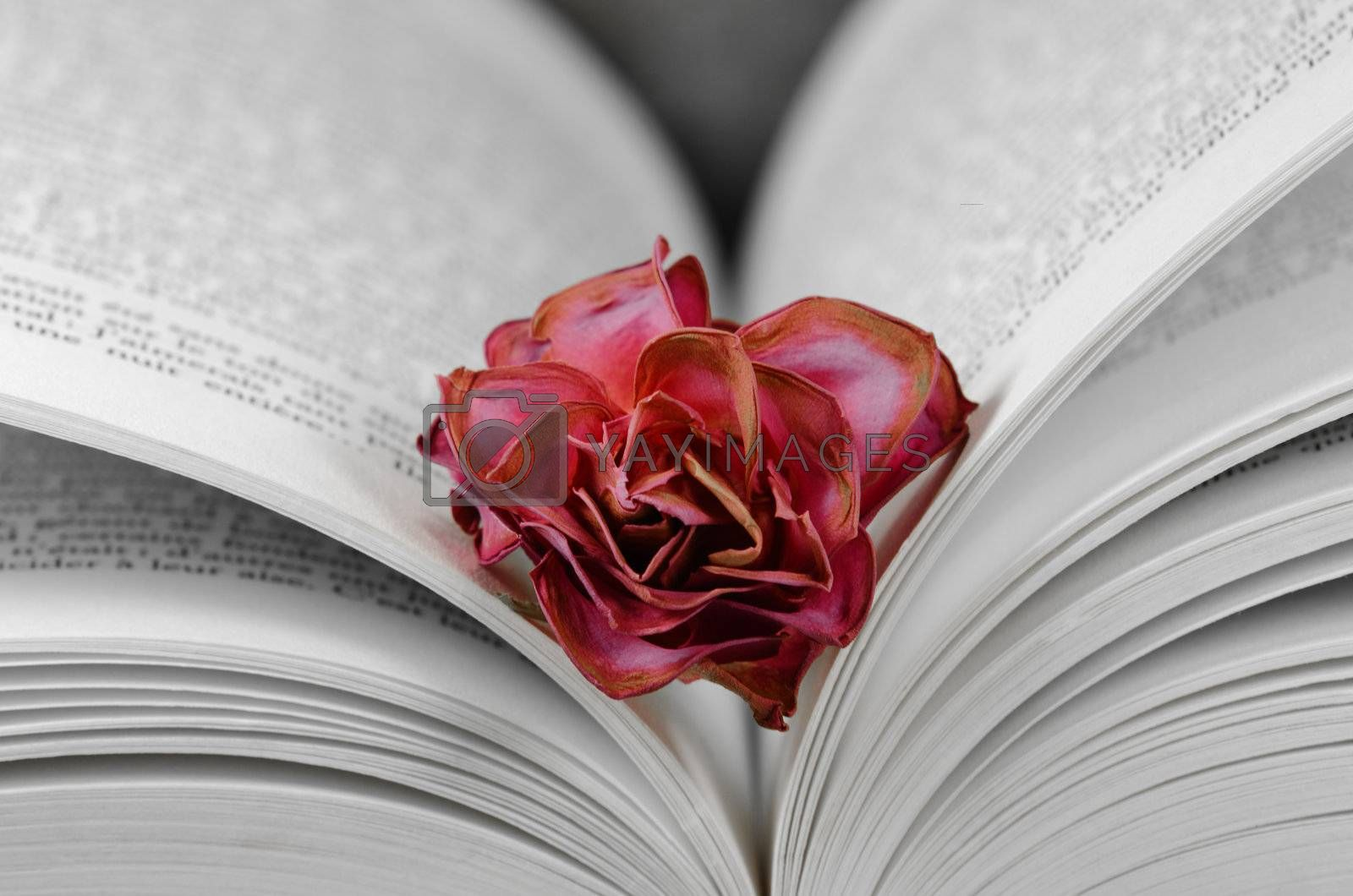 a faded rose between the pages of a book