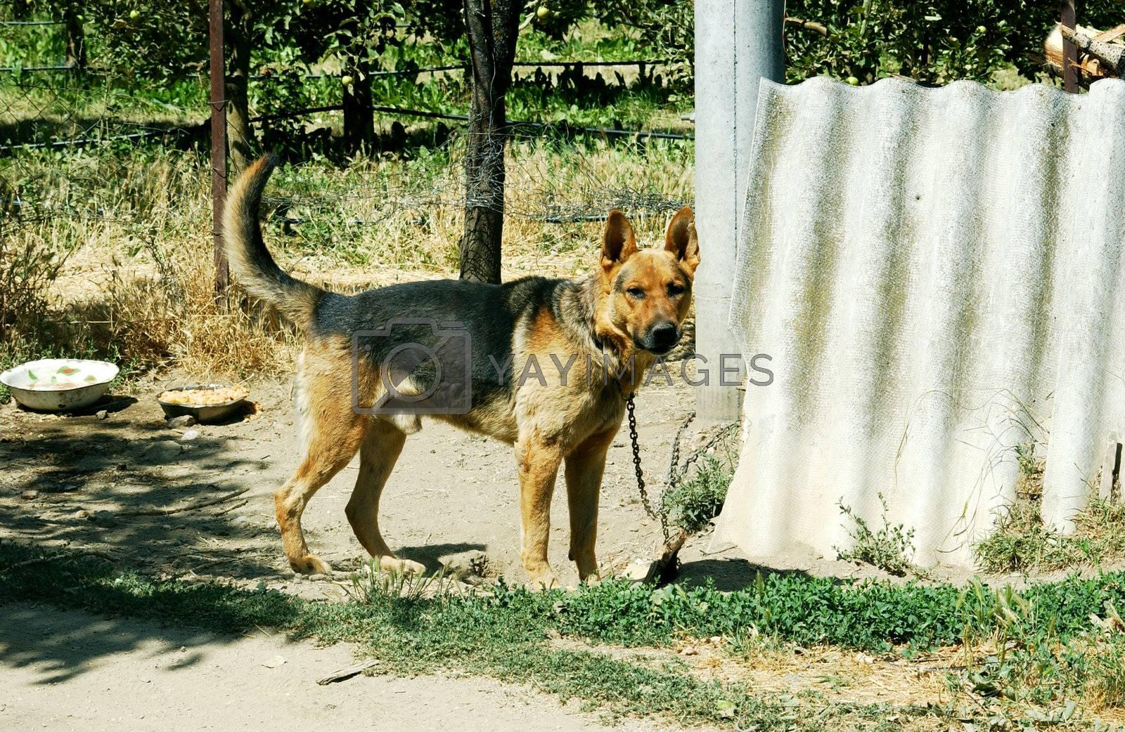 german sheepdog
