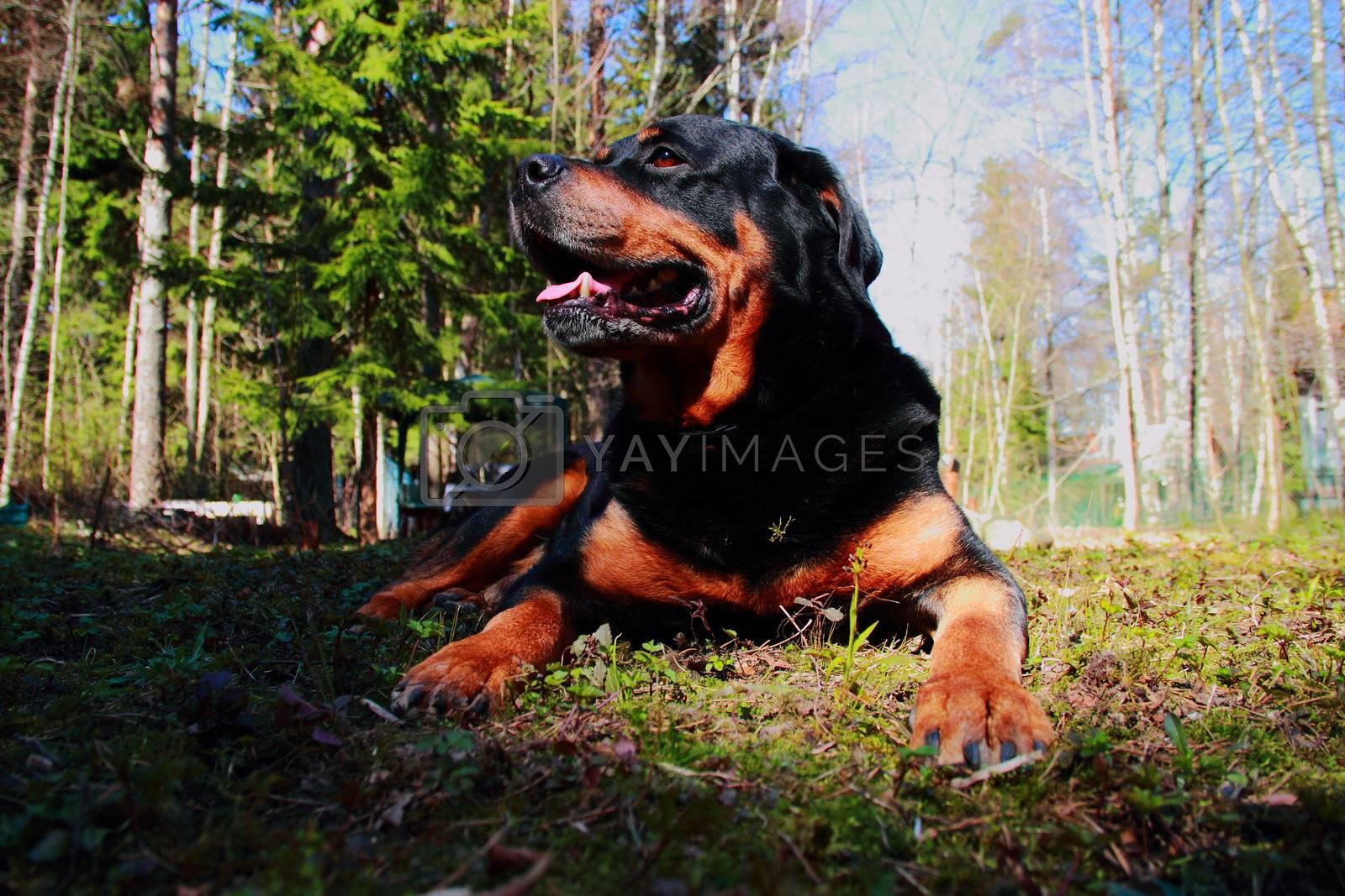 pretty handsome Rottweilerer