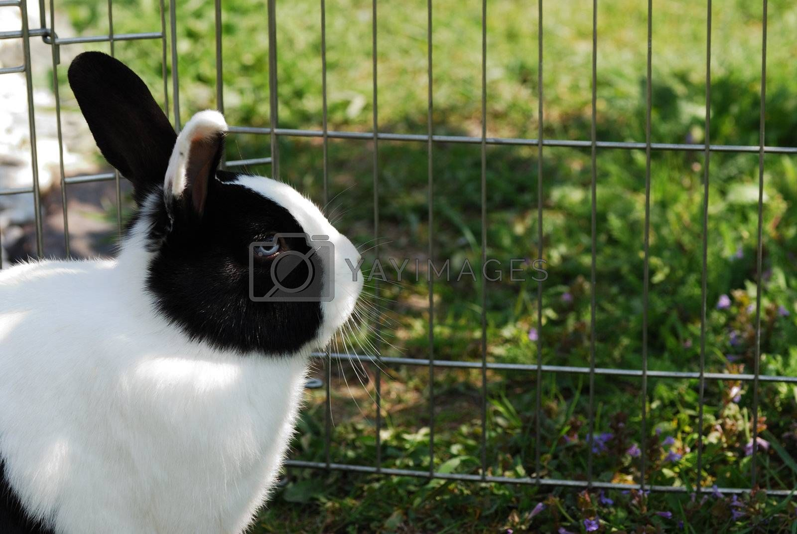 rather small black bunny looks behind grille