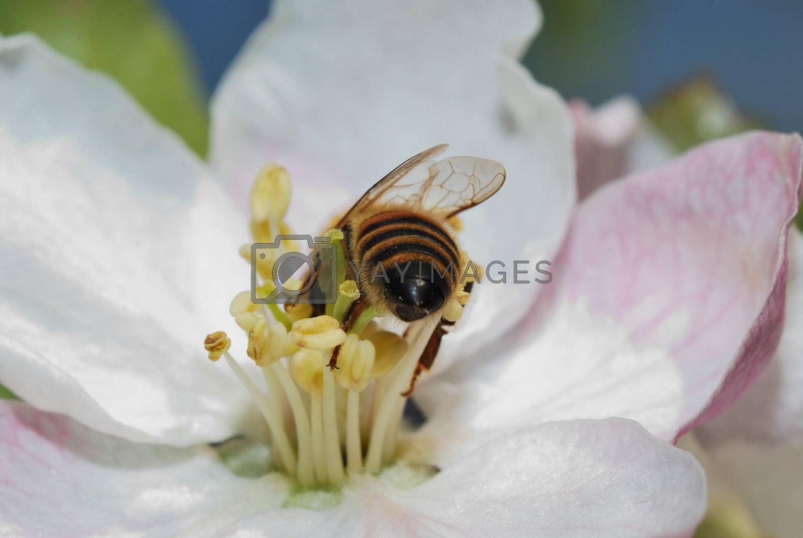 small bee crawls deep into a flower from the rear view