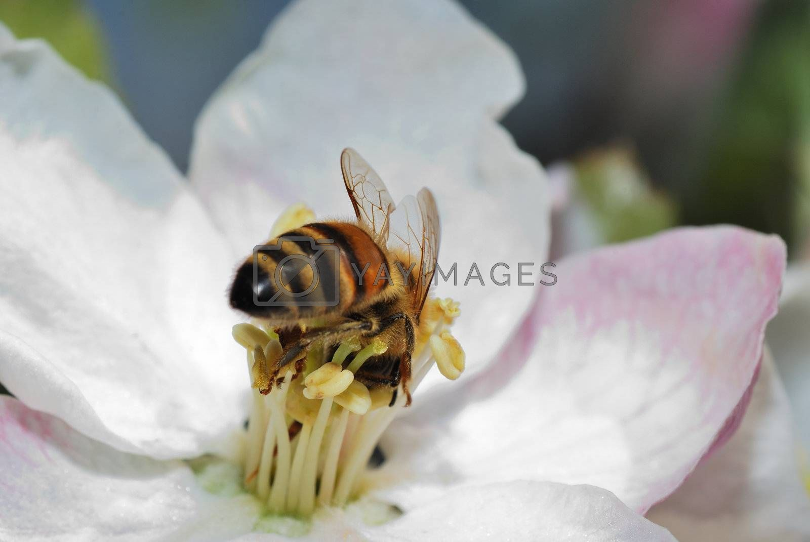 small bee crawls deep into the white blossom in spring