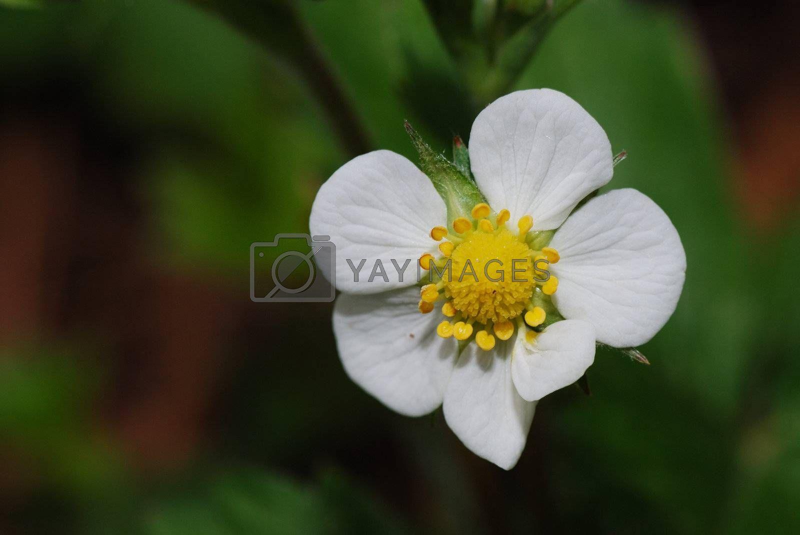 single fresh flower blossom in the spring of forest strawberry