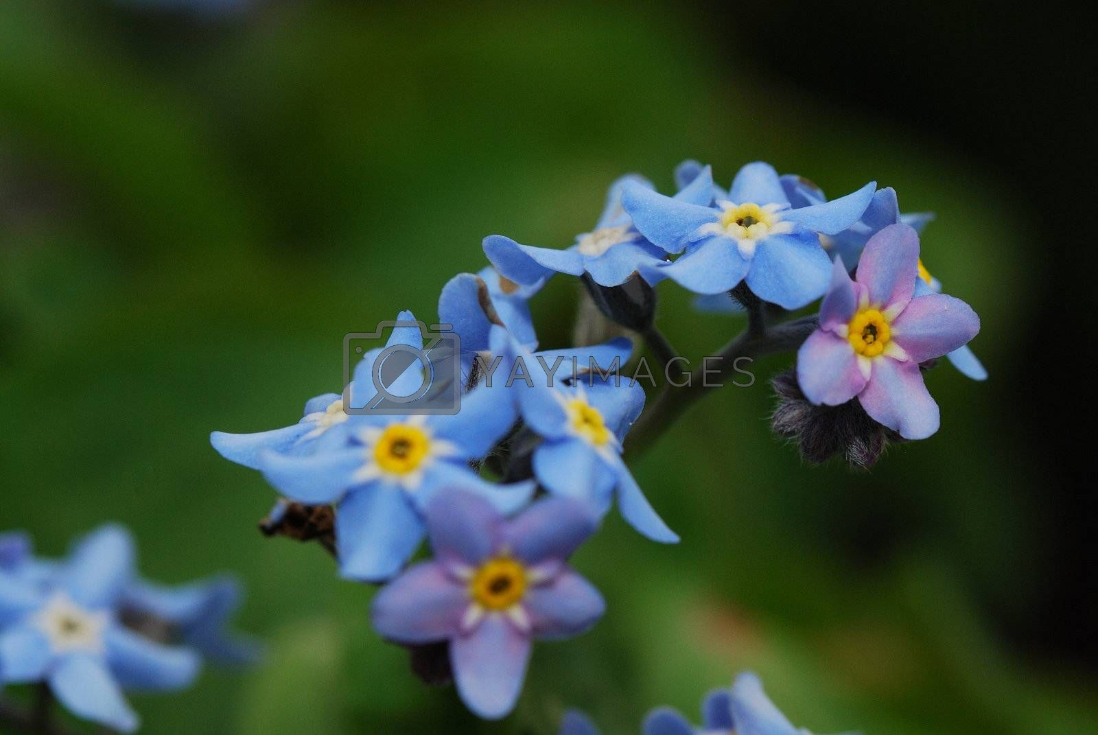 fresh blue flowers in spring and do not forget my garden