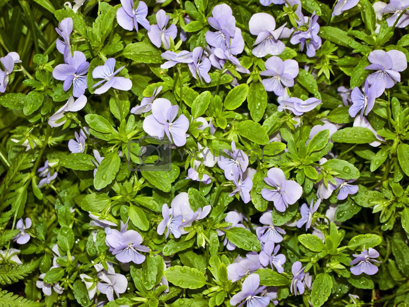 wet wild violet with green leaves