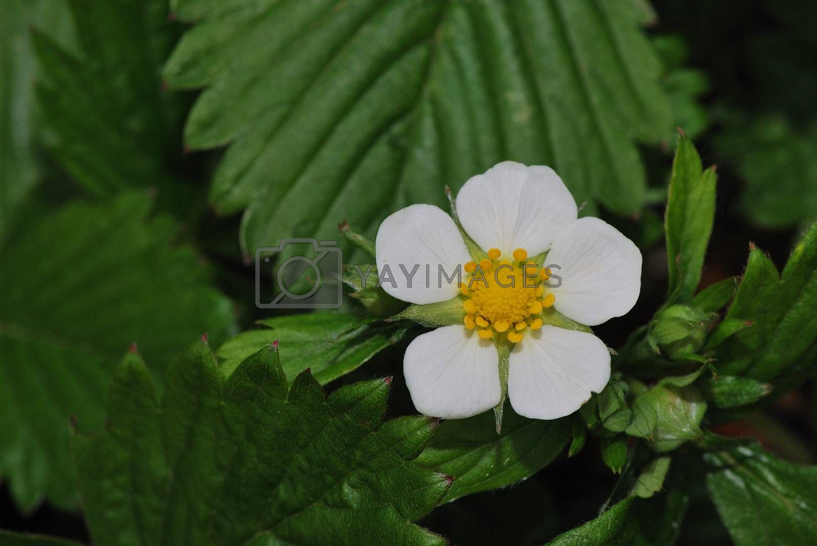 fresh white single petal in the spring forest strawberry