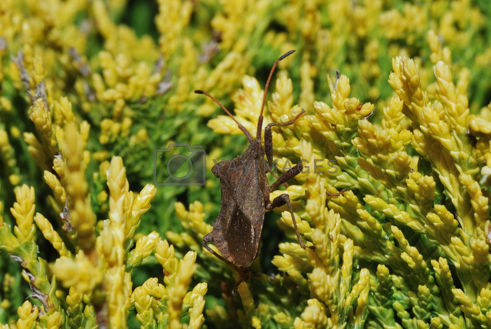 small brown bug beetle in yellow green shrub in the spring