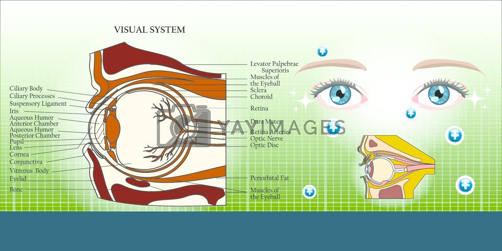 Visual system and eye anatomy illustration background