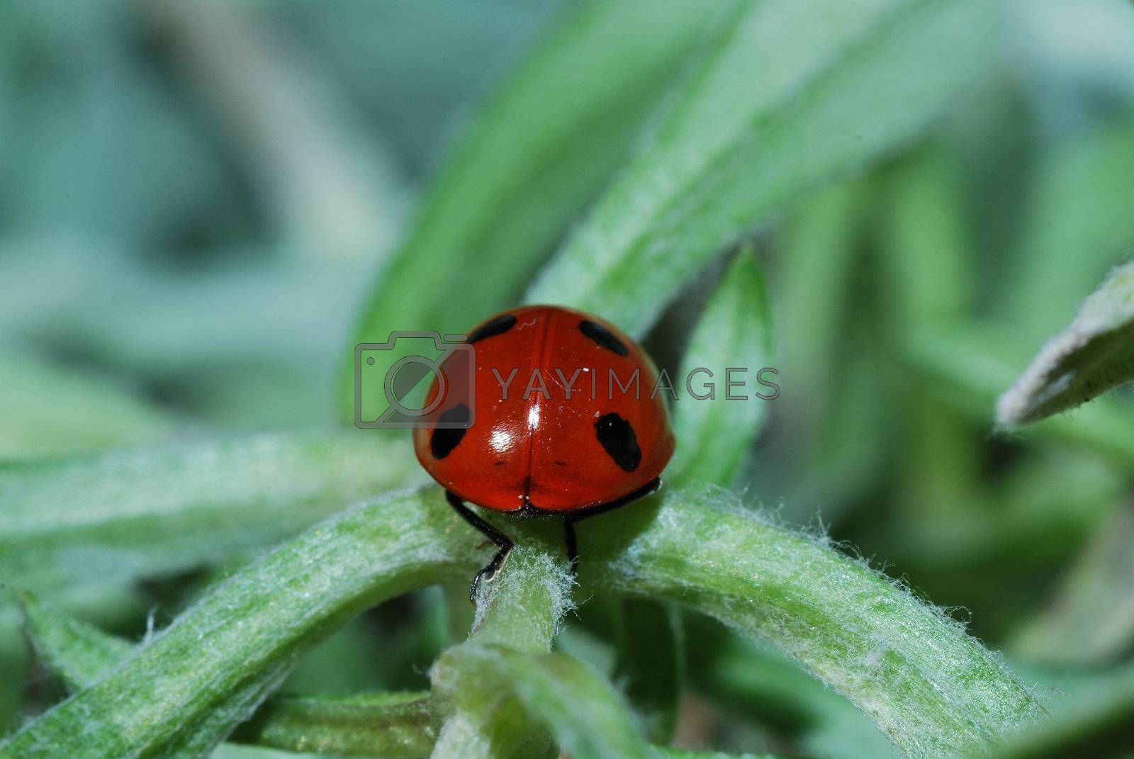 small red black ladybug on a leaf from the rear view