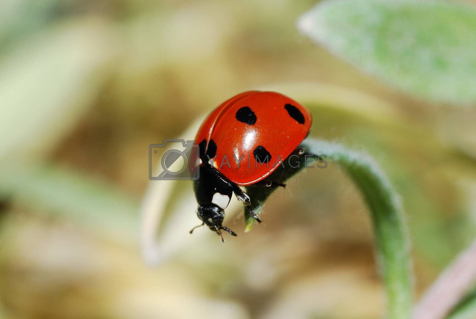 small red black ladybug on a leaf in the spring before the descent