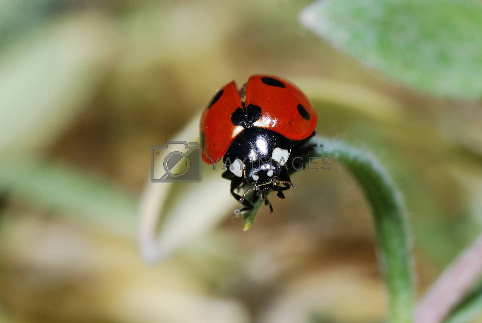 small black ladybug red just before takeoff on a leaf in the spring