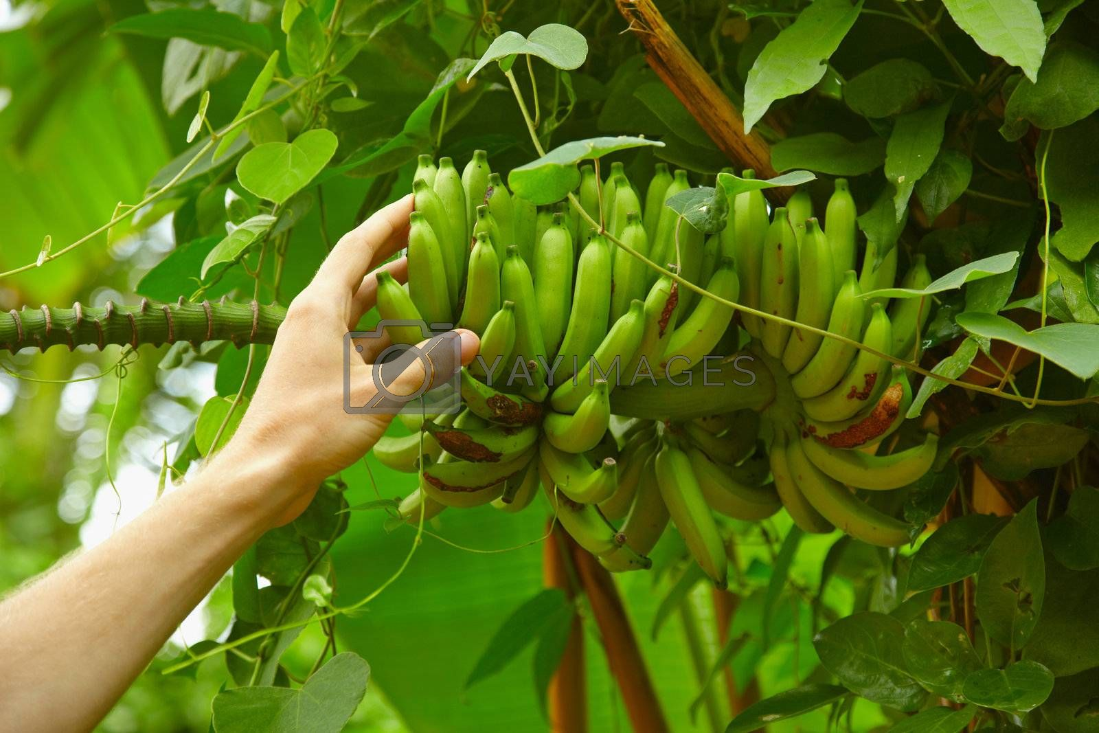 Inedible wild bananas in the tropical forest