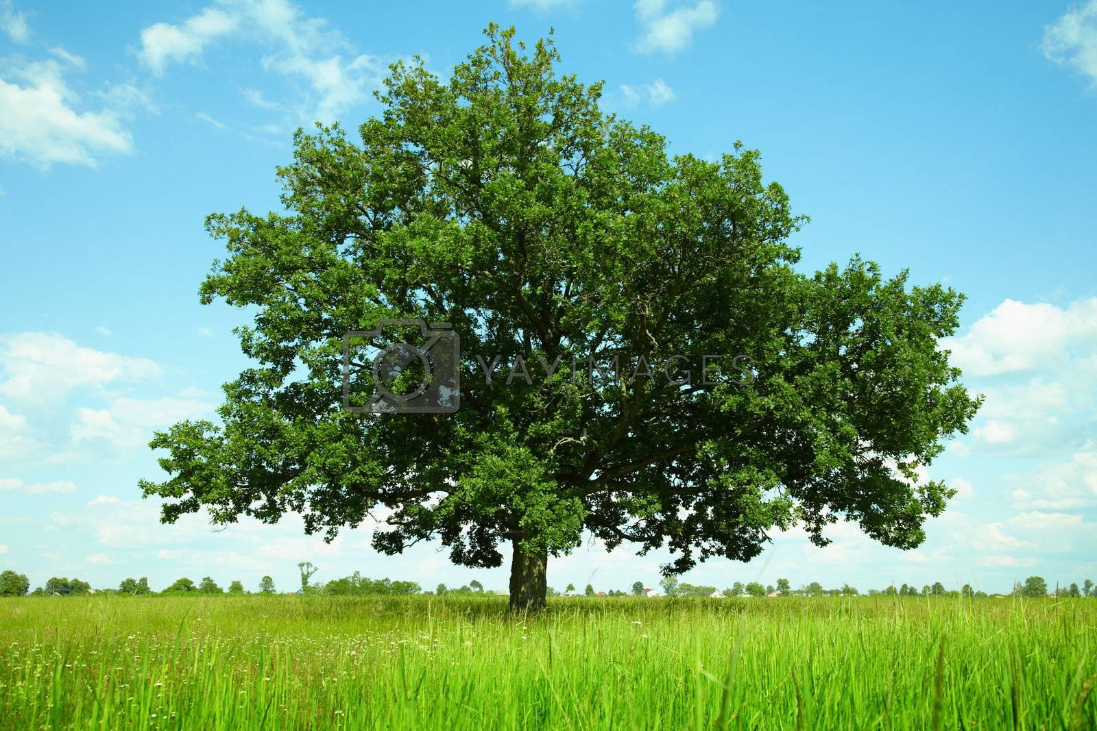 One oak tree in a field