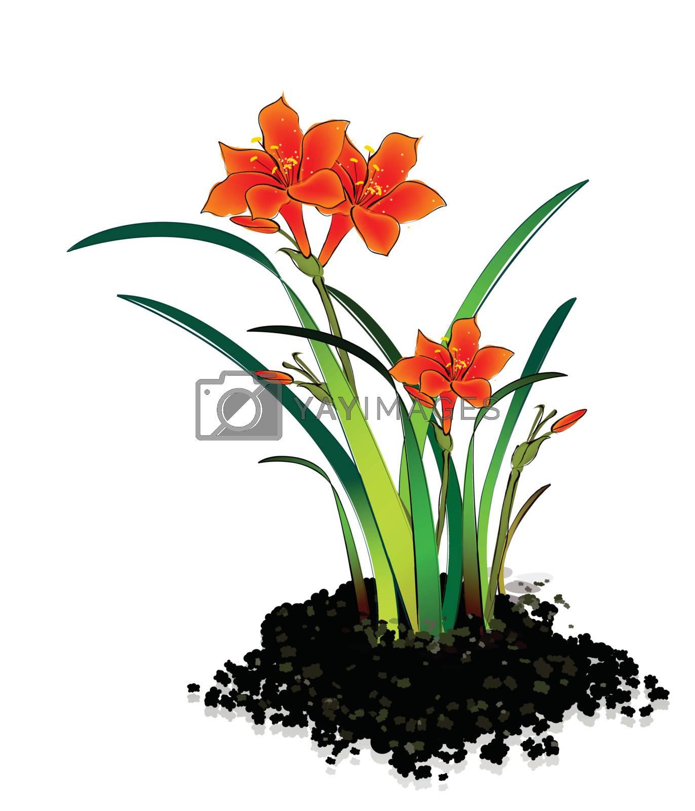 Planting flowers Hippeastrum