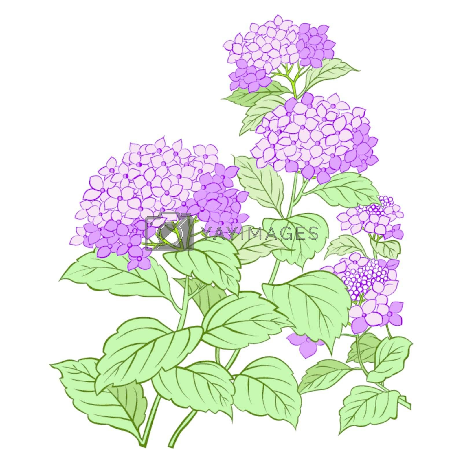 Hydrangea flower and leaf isolated on white