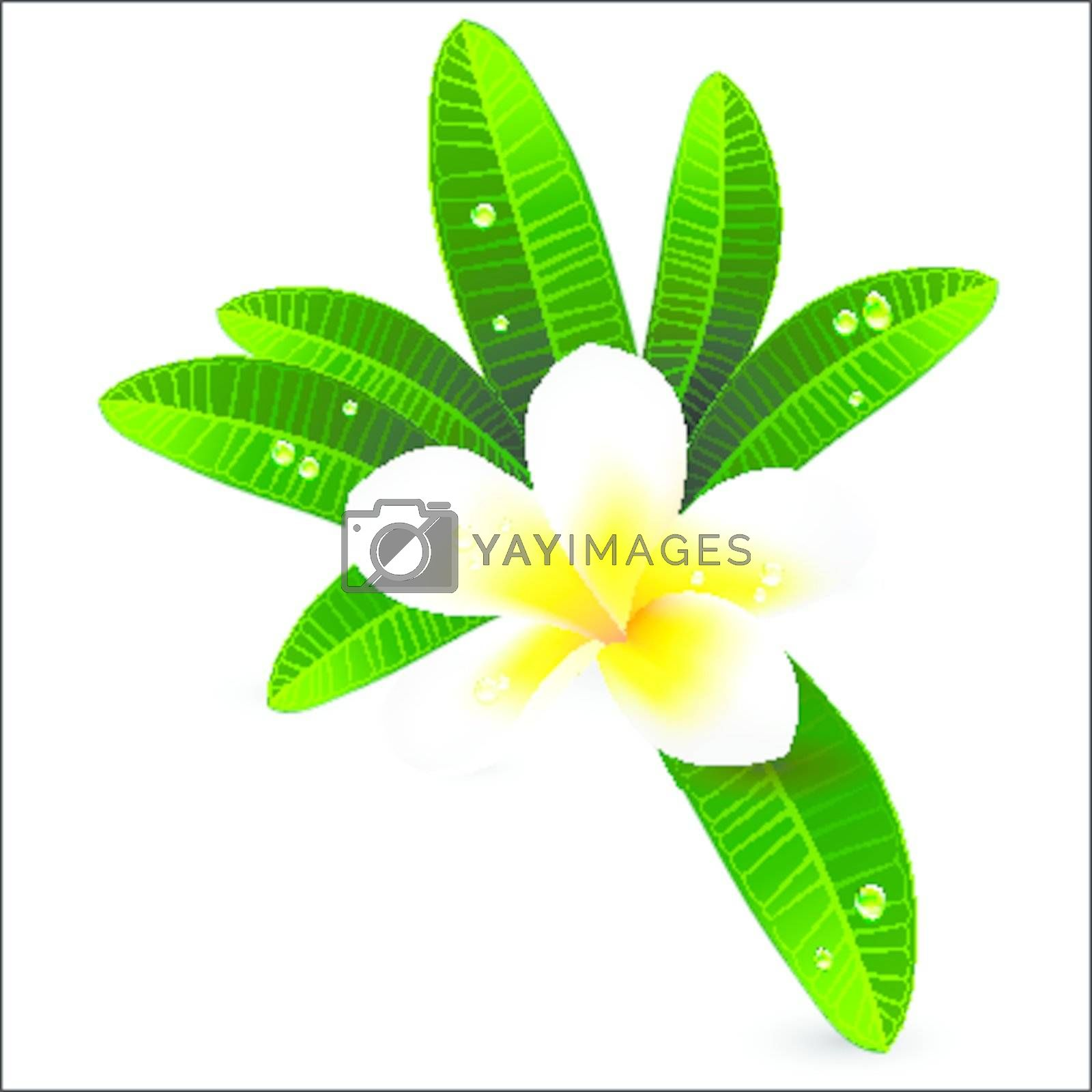 White plumeria or Frangiapani with leaves illustration