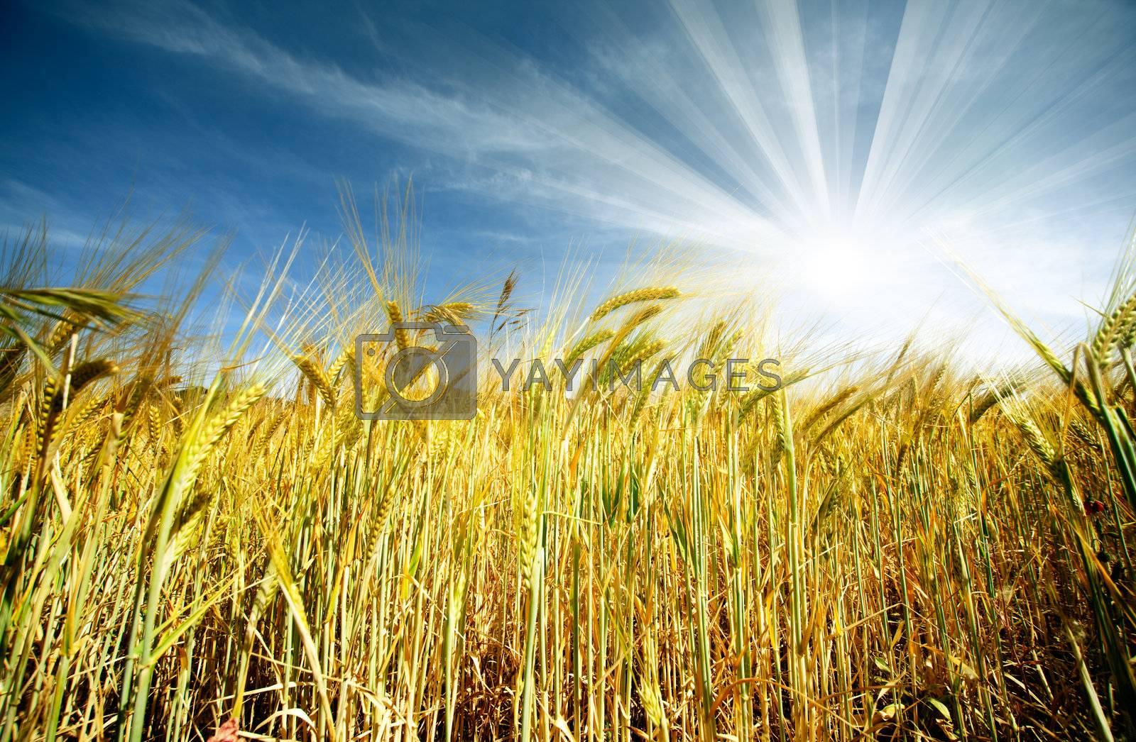 Idyllic wheat field and sunshine