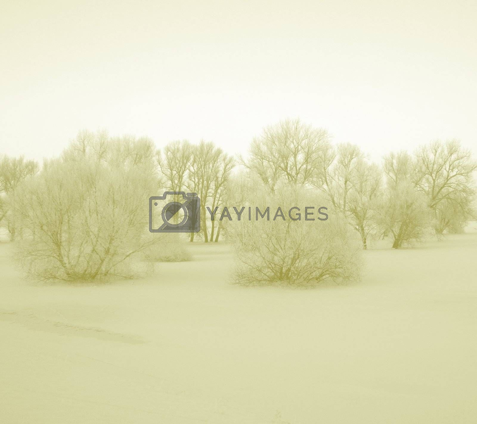 Bushes in the winter seem very sleepy by soft lighting. Snowed in meadows in the Elbe Valley a nature protection area.