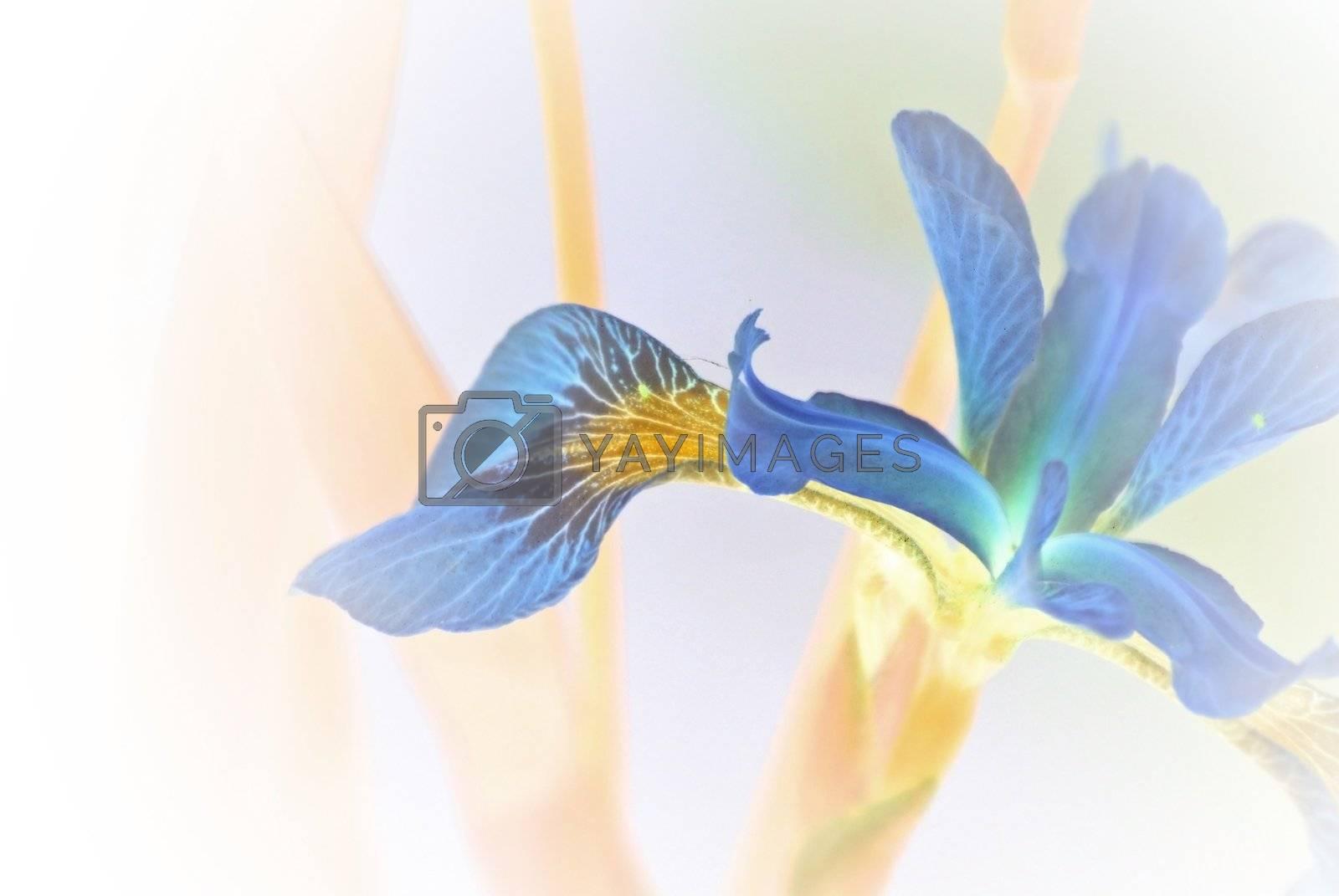 An iris in a garden pond, artistically alienated.