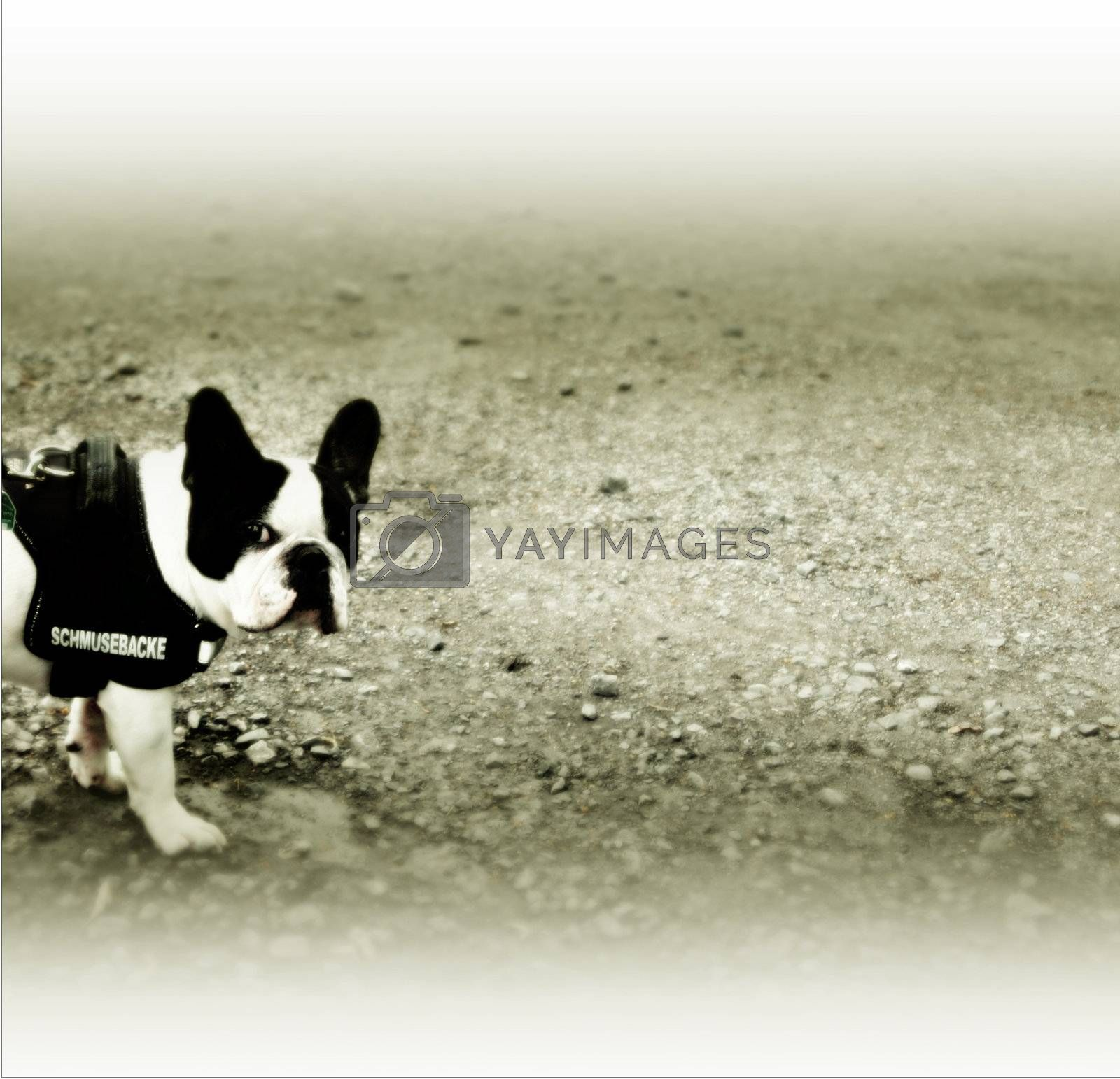 Very sweet French Bulldog named cuddle cheek.