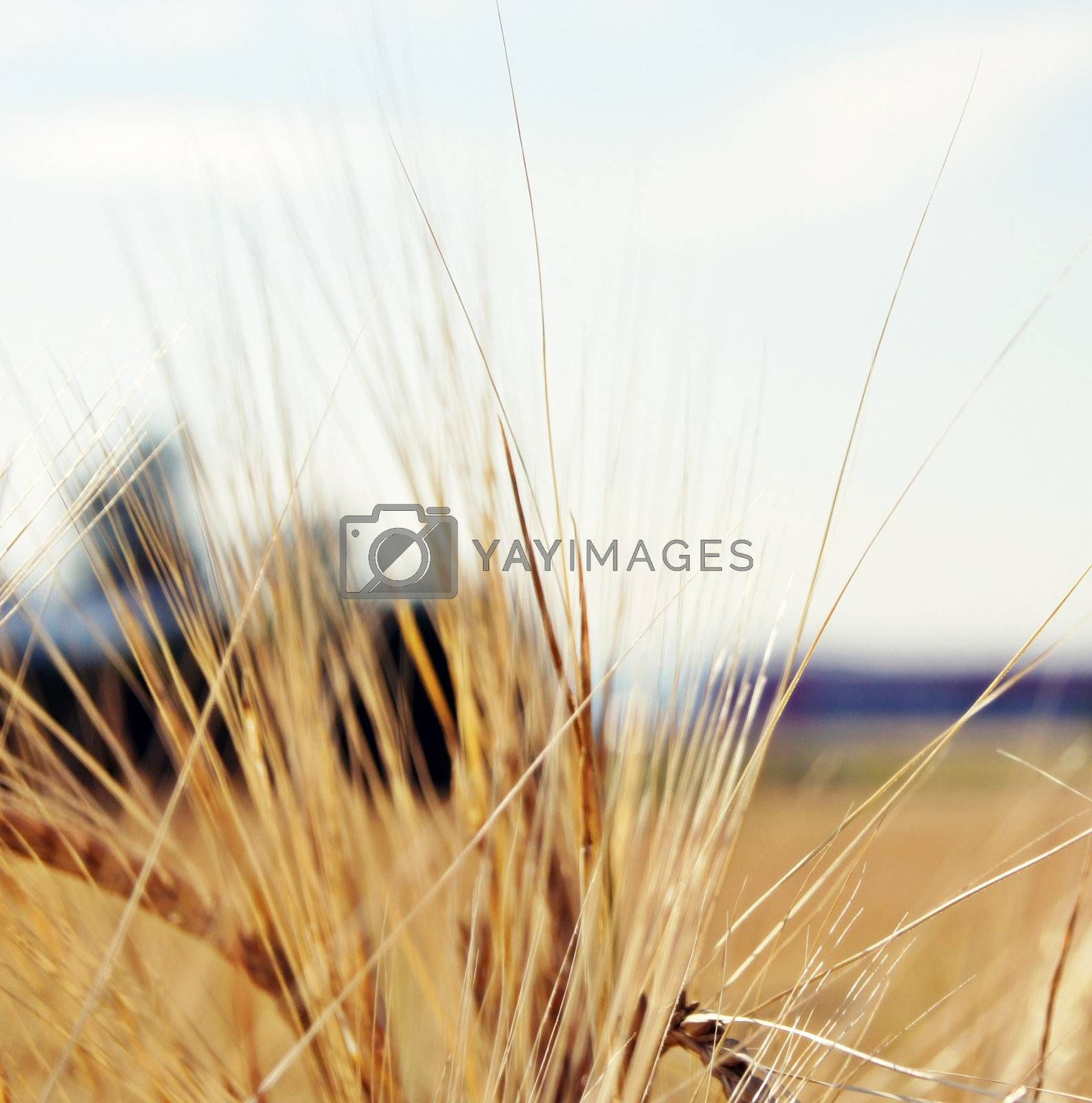 Close up of a photography cereal awn or ear of corn.