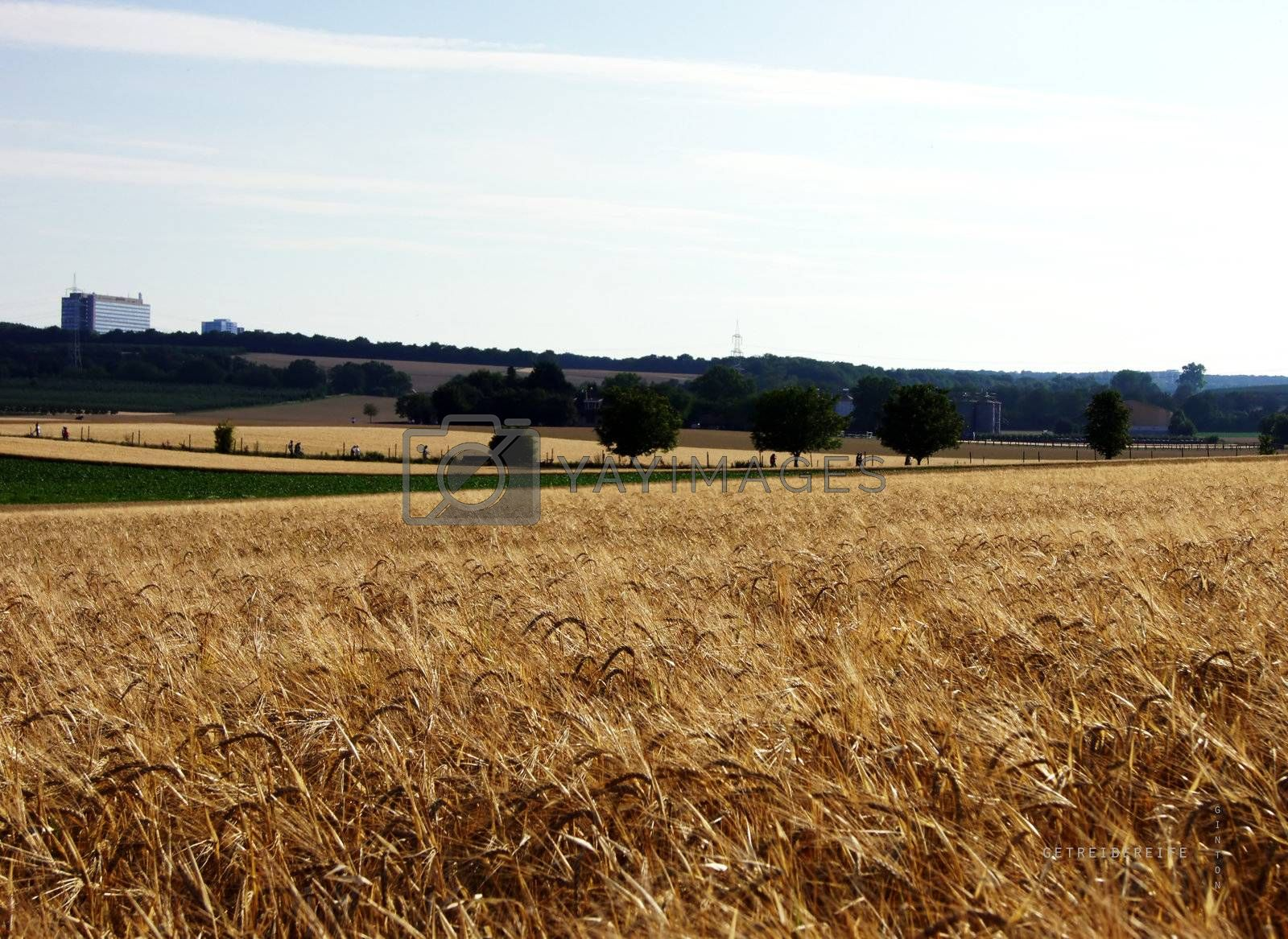 Inclusion of a hilly landscape with fields of grain in the foreground, behind whith trails.