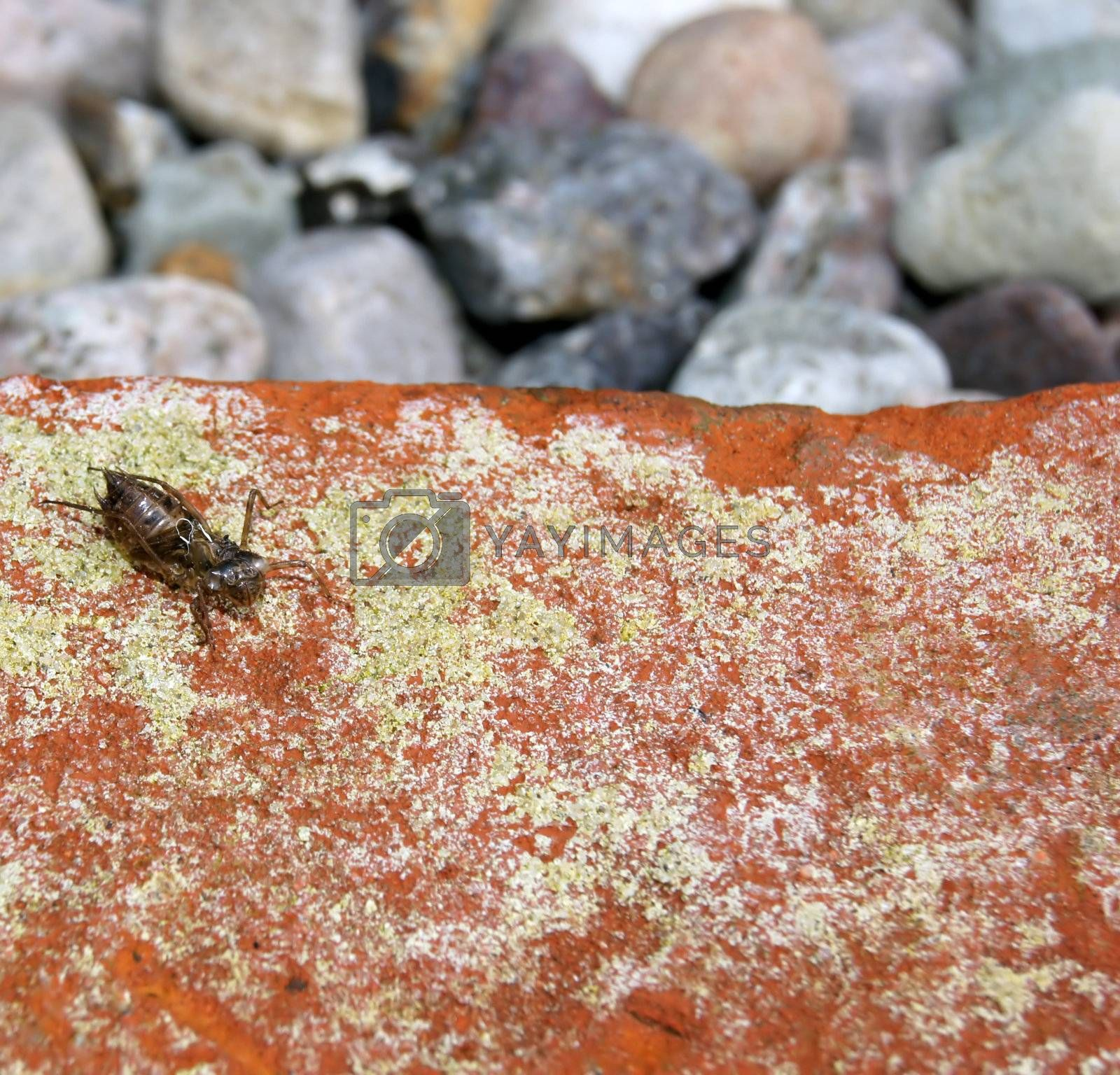 Stripped exoskeleton of an insect on a brick.