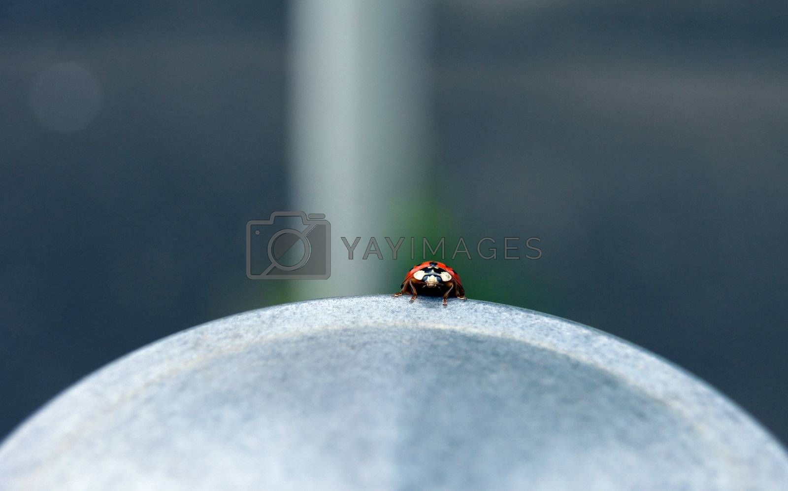 Close shot of a ladybug (Coccinellidae), peering over the edge of a sidewalk post.