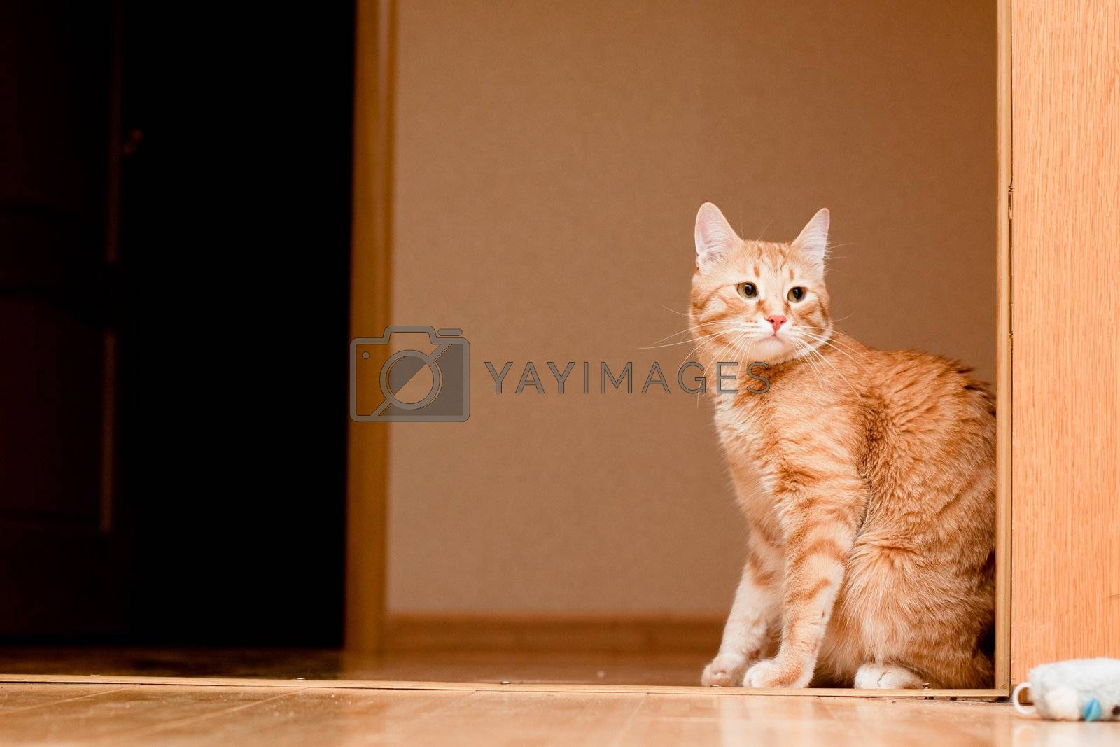 A young ginger tabby cat on the wooden floor