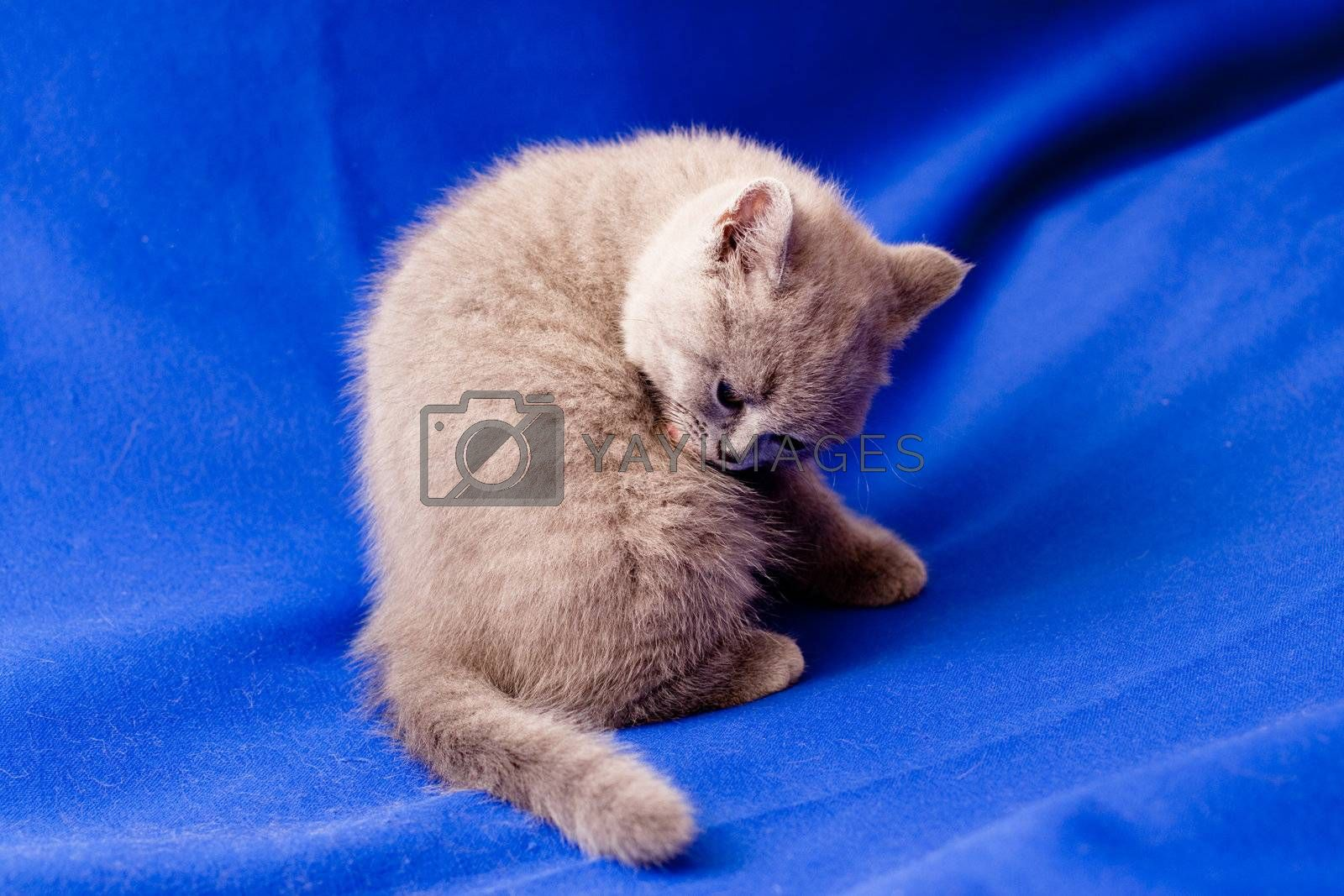 A British kitten sitting on textile background