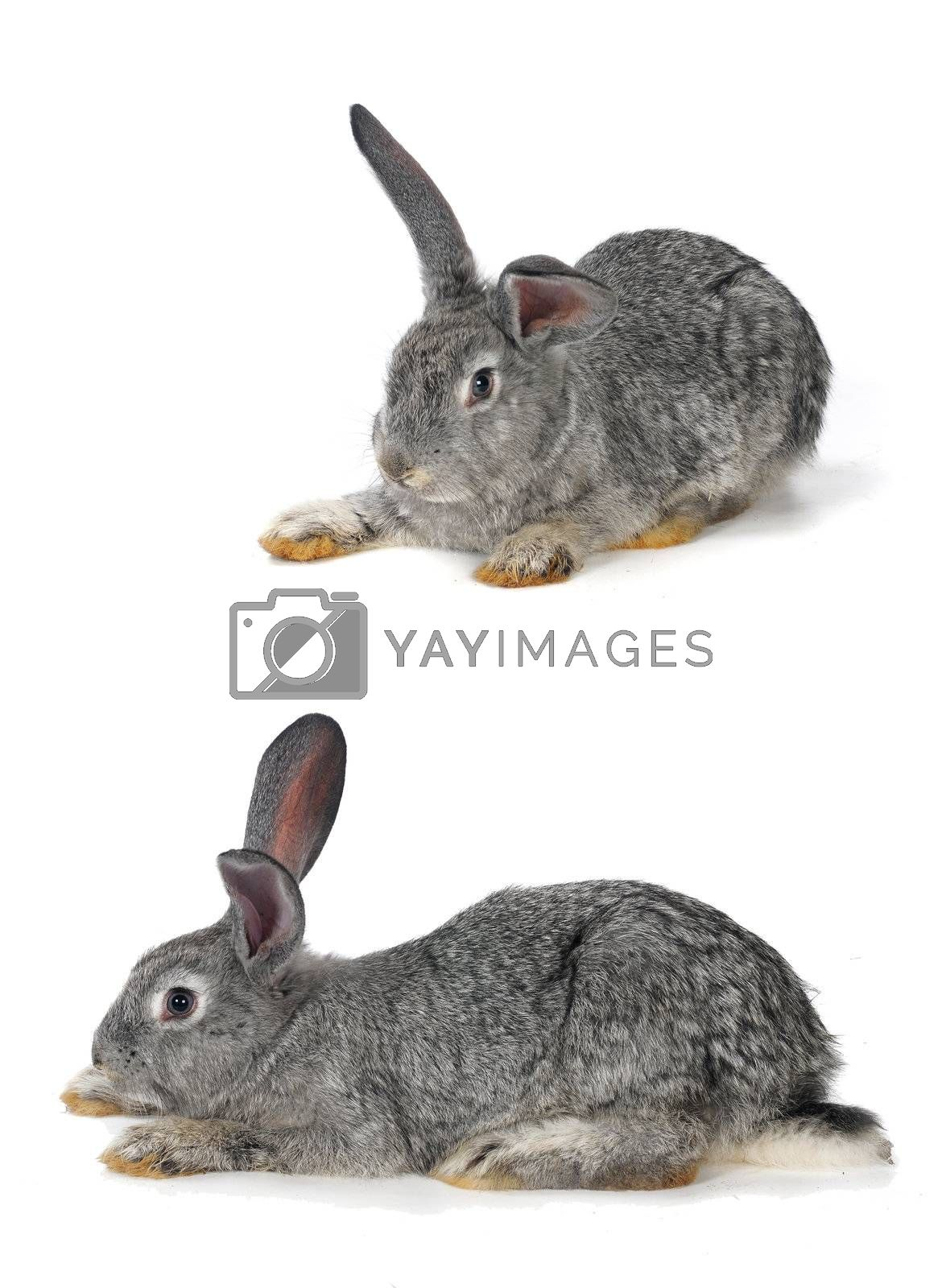 two, grey rabbit on a white background