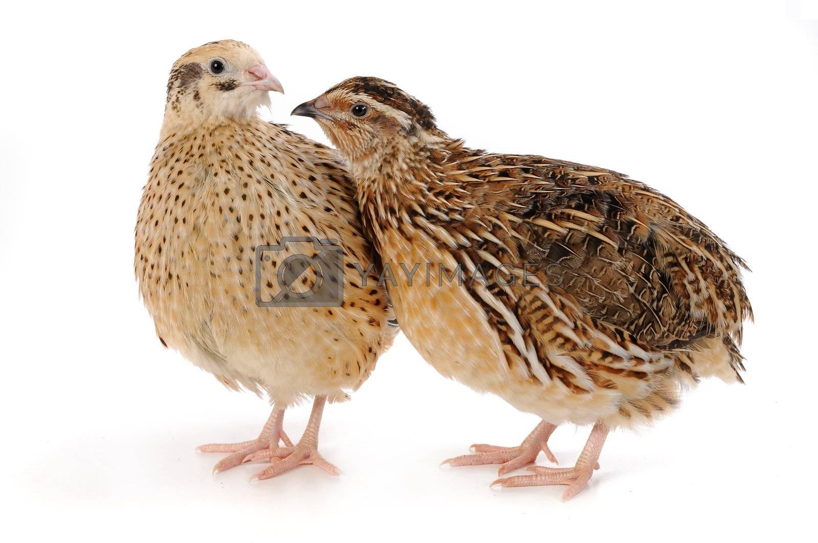 adult quail isolated on white background