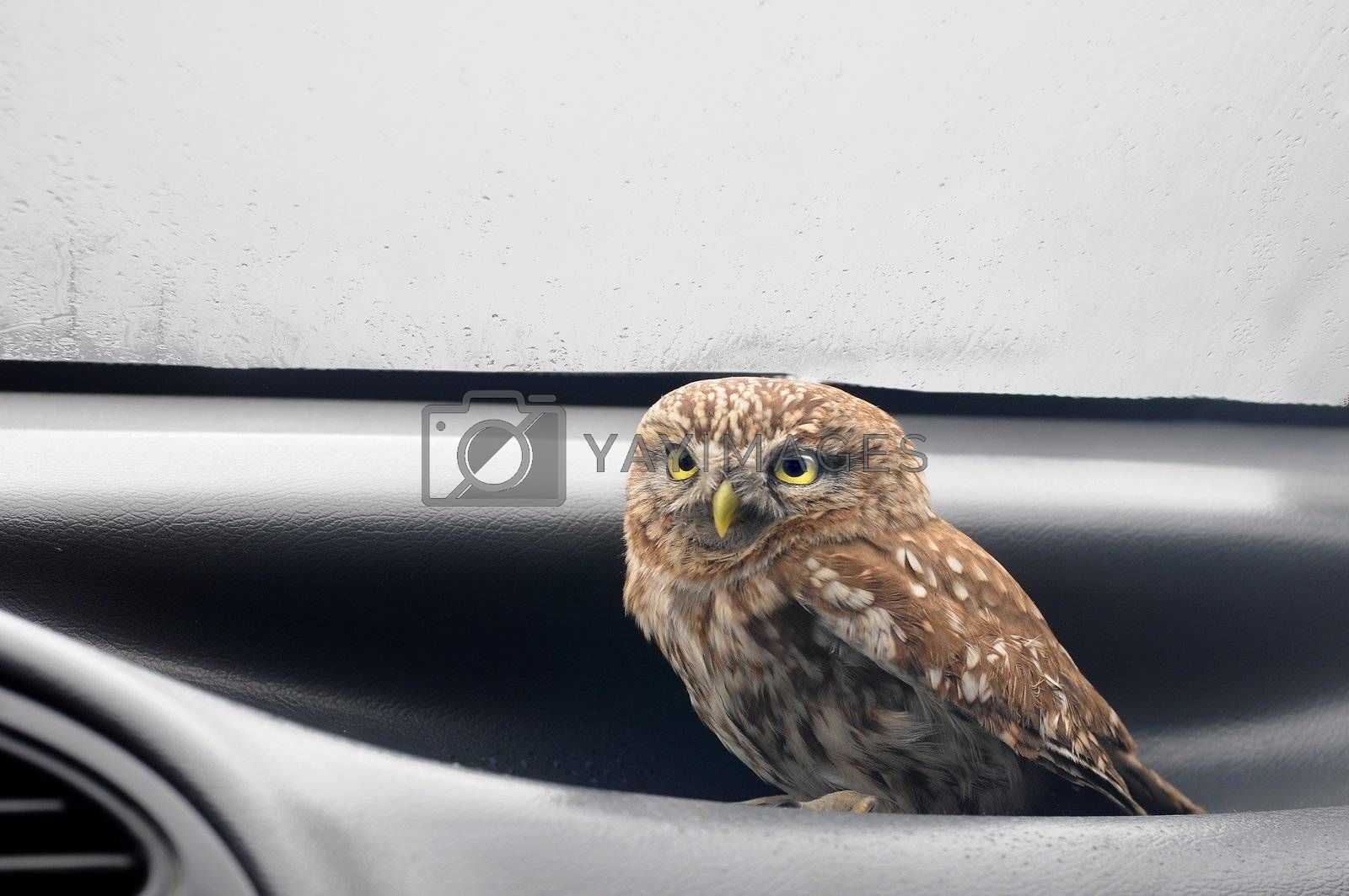 owl sitting in the car