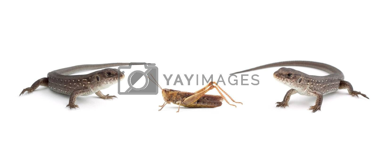Two lizards and a grasshopper isolated on white background