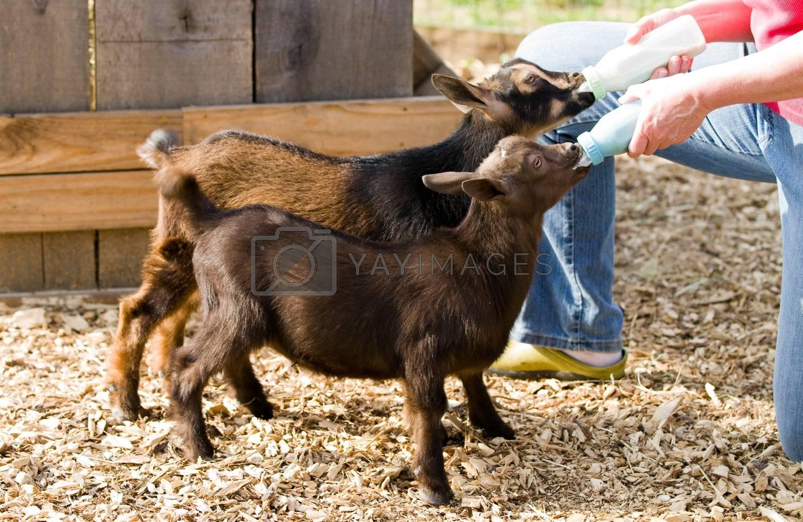 Farm woman bottle feeds milk to eight week old baby Dwarf Nigerian dairy goats.