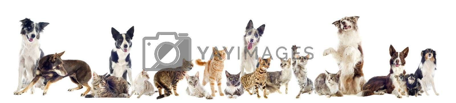 group of purebred cats  and dogs on a white background
