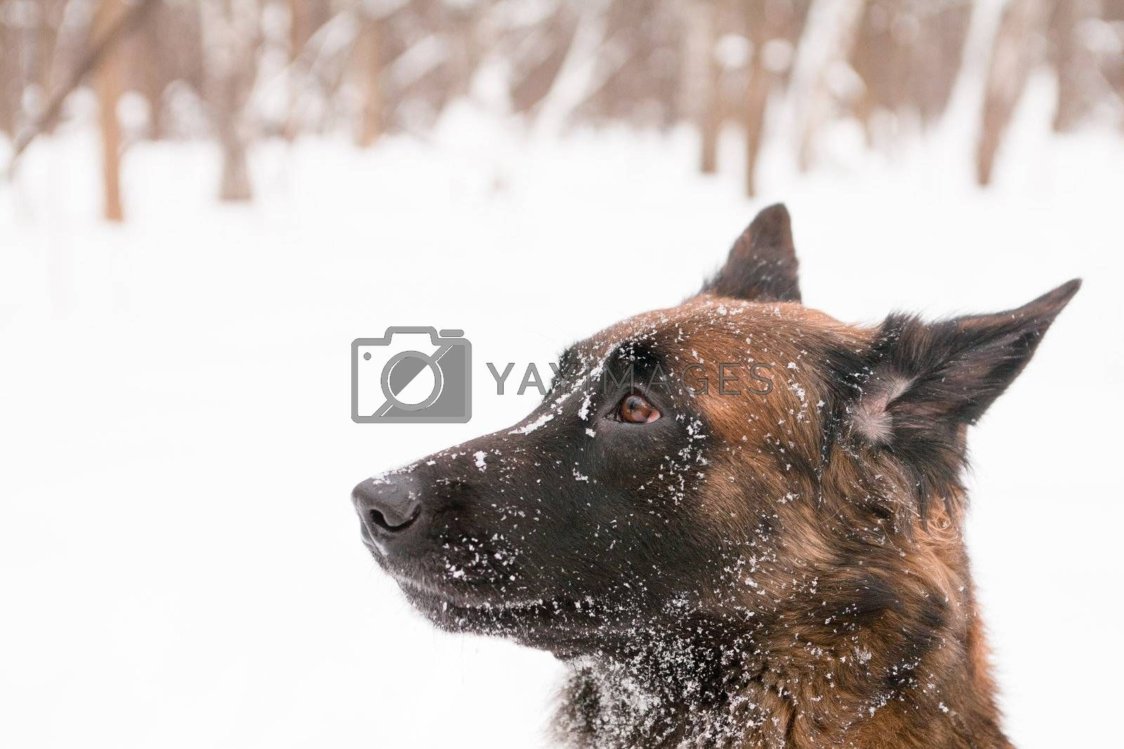 A portrait of belgian shepherds in snow