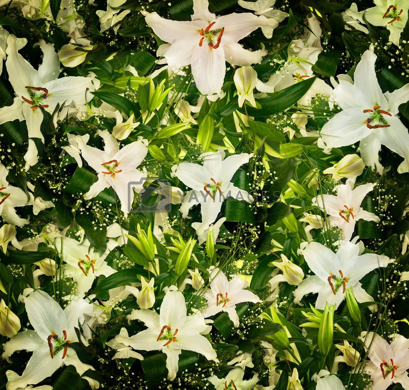 white lilies and green leaves background