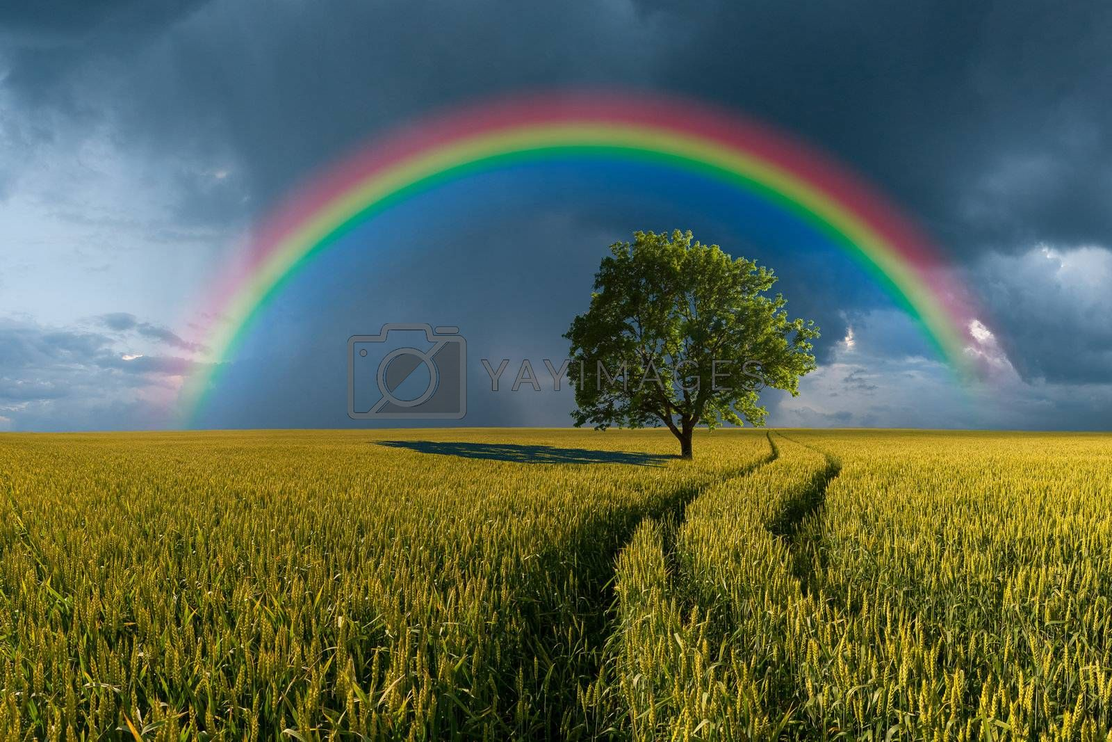 Summer landscape with wheat field, road and lonely tree, thunderstorm with rain on background