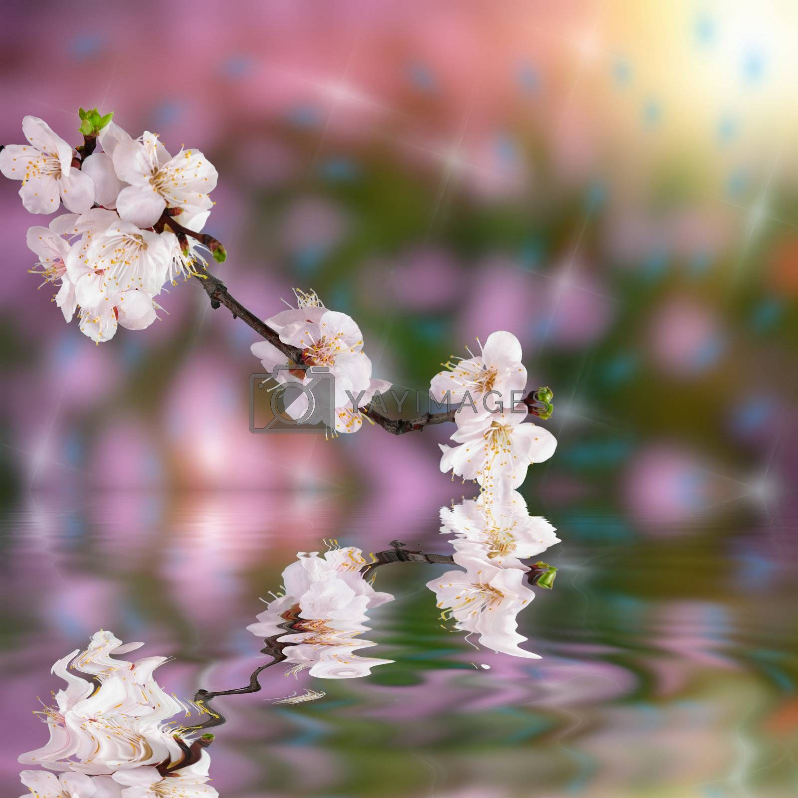 Beautiful spring background with flower apricot and reflection in water