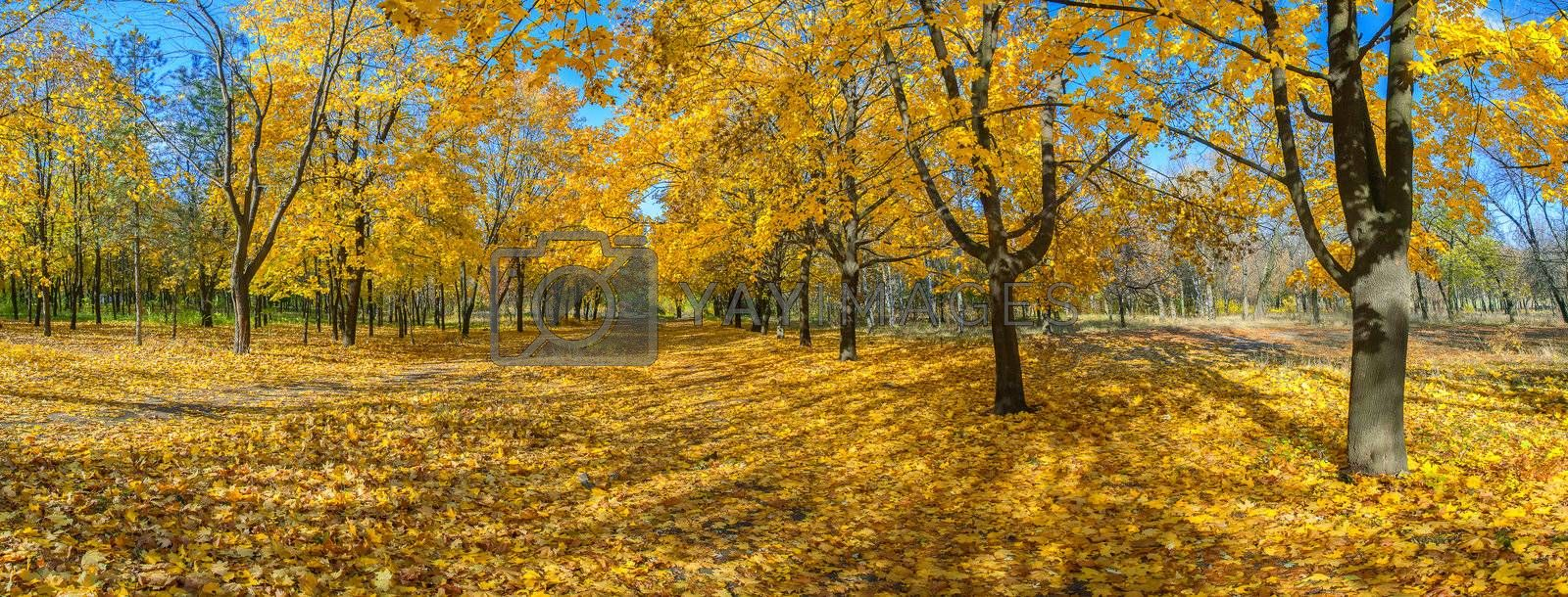 Panorama of the big maple alleys strewn with yellow leaves, autumn landscape