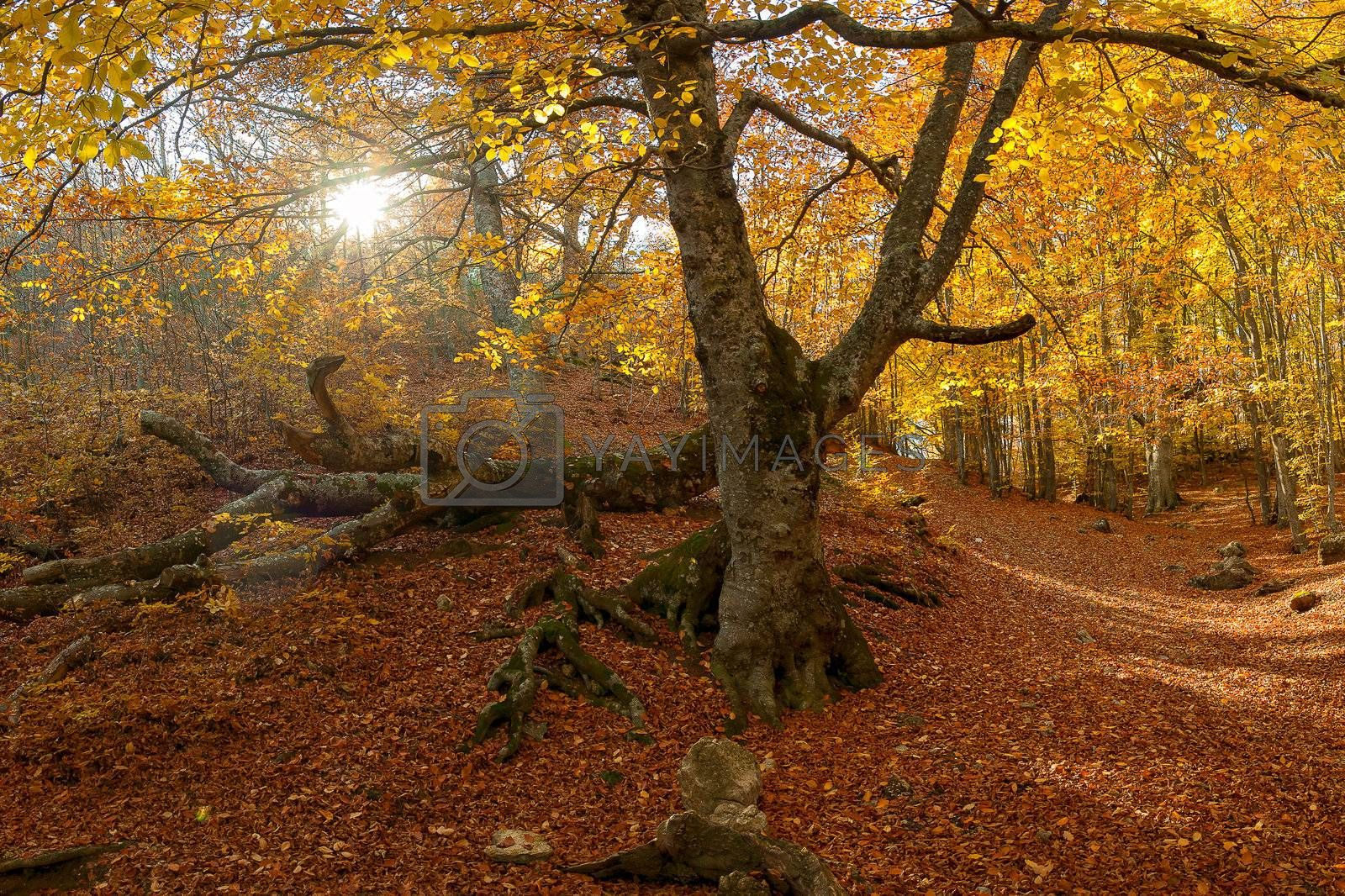 Autumn landscape with the sun and a big tree in the wood