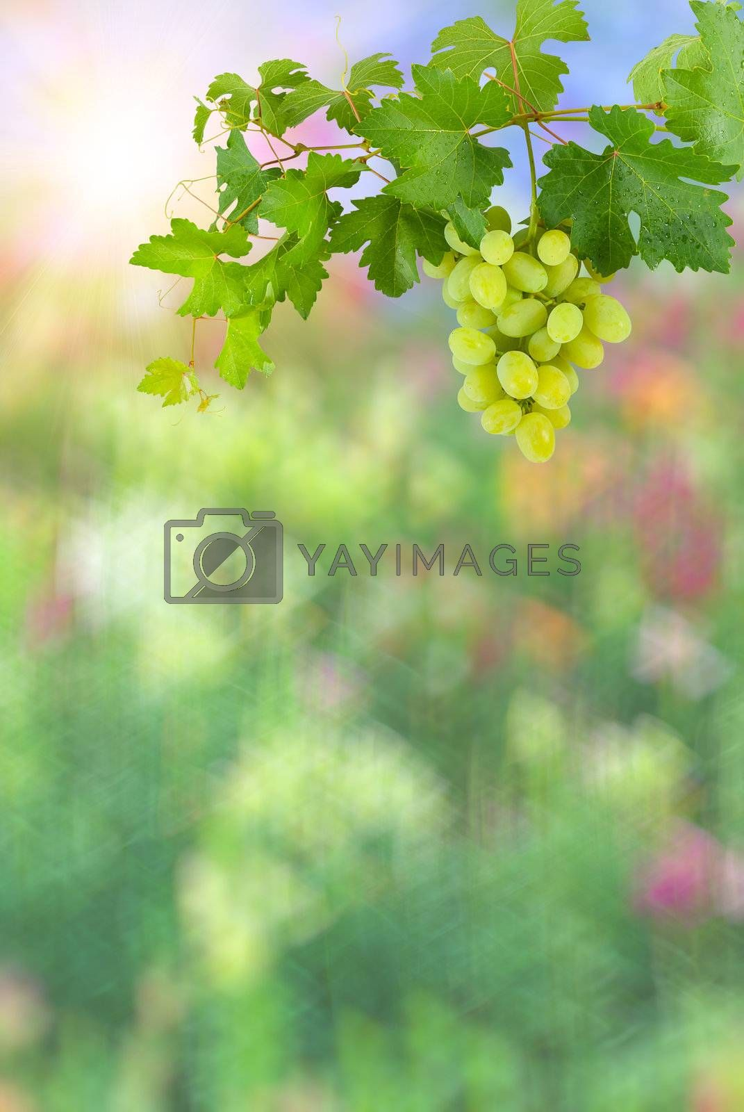Colorful abstract background with sun and green grapes with leaves on branch