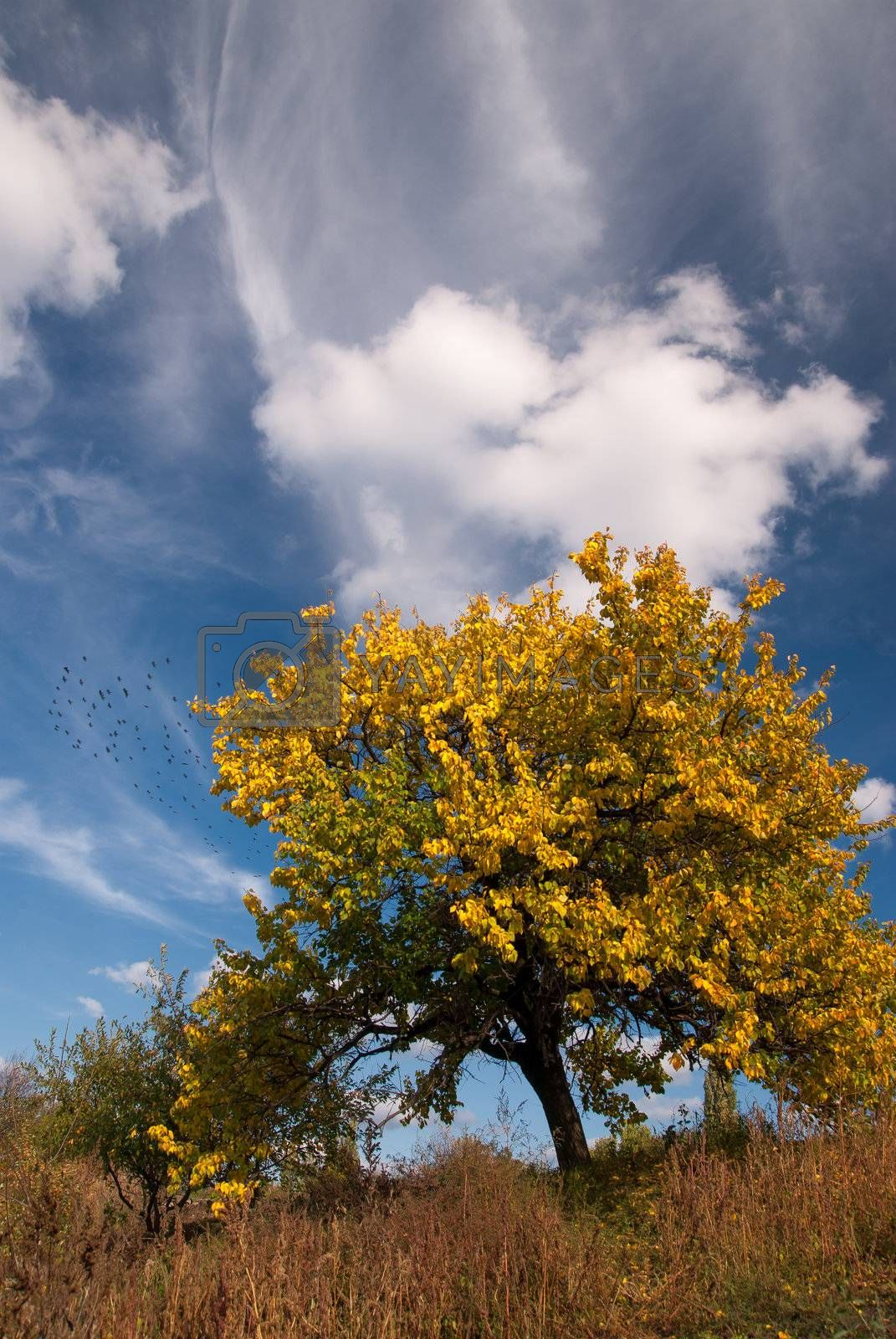 Lonely autumn tree with yellow leaves on blue sky background
